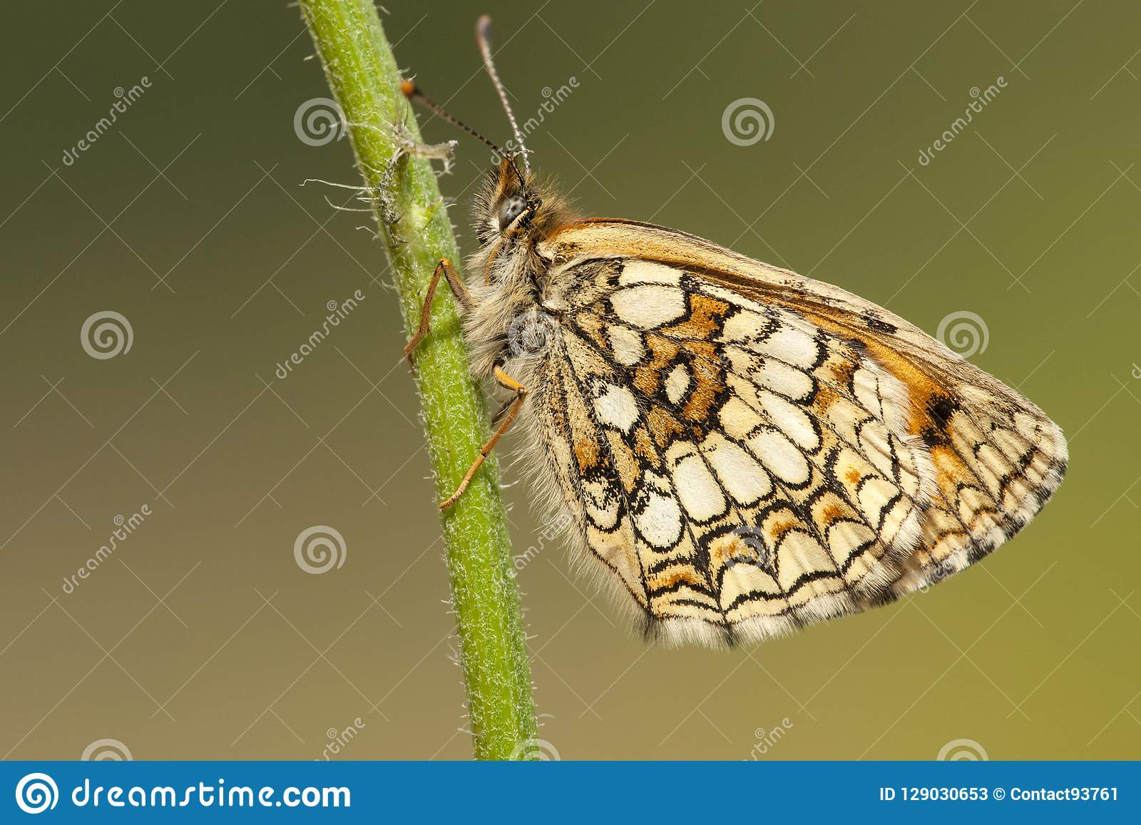 Bosparelmoervlinder, ρείκι Fritillary, athalia Melitaea