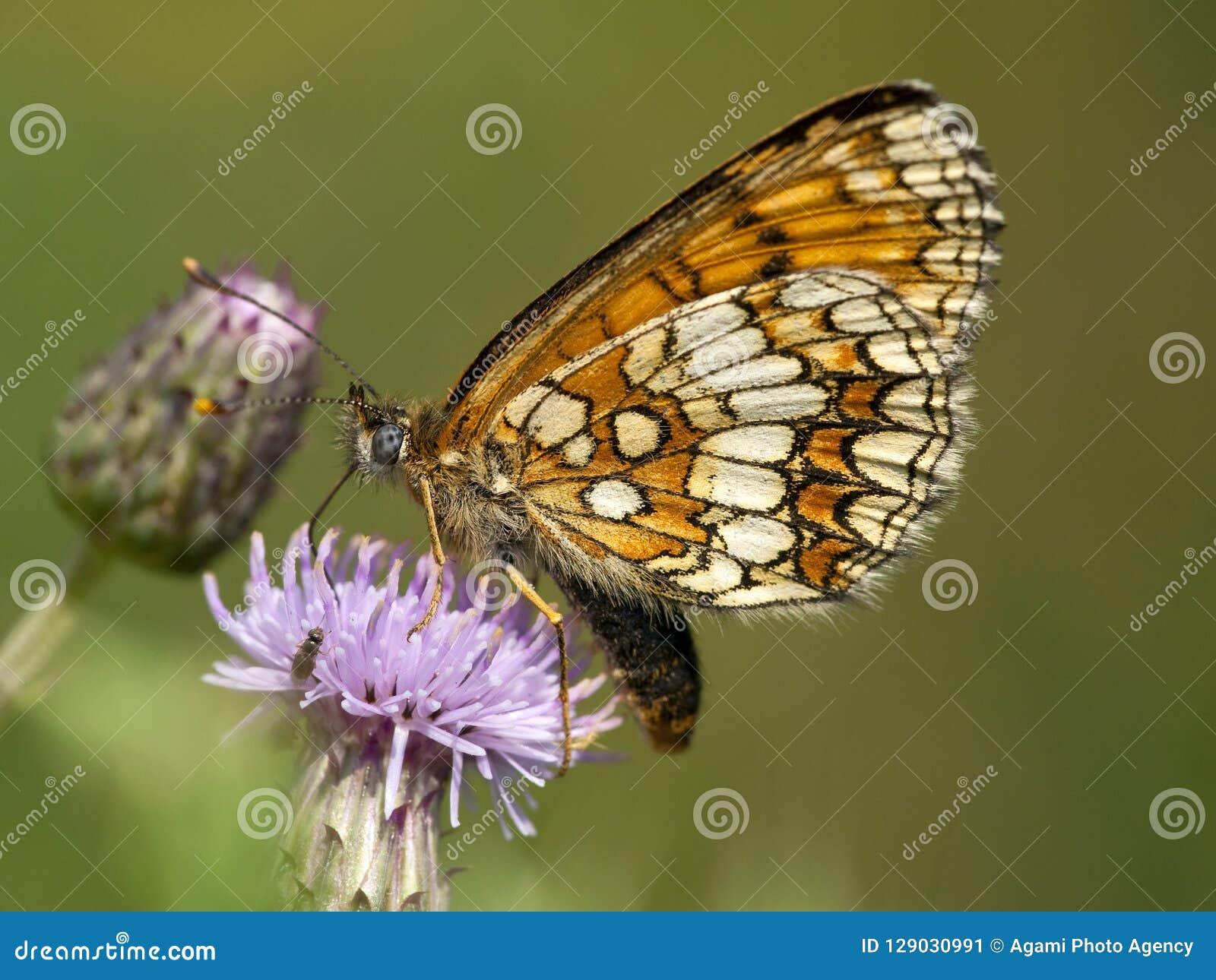 Bosparelmoervlinder, Heath Fritillary, athalia di Melitaea