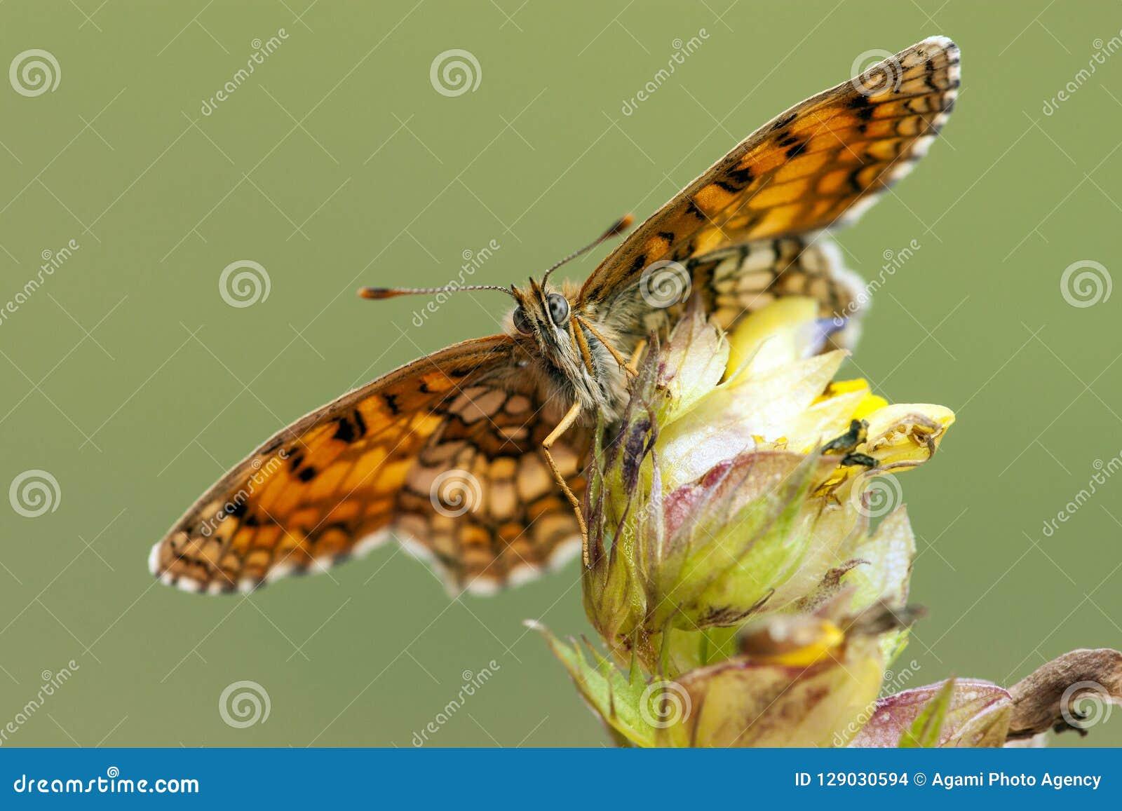Bosparelmoervlinder Heath Fritillary, Melitaea athalia
