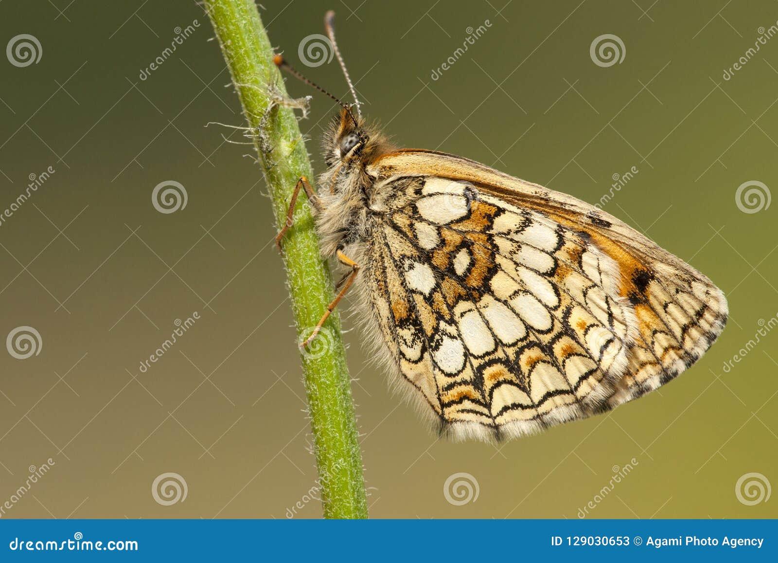 Bosparelmoervlinder, Heath Fritillary, Melitaea-athalia