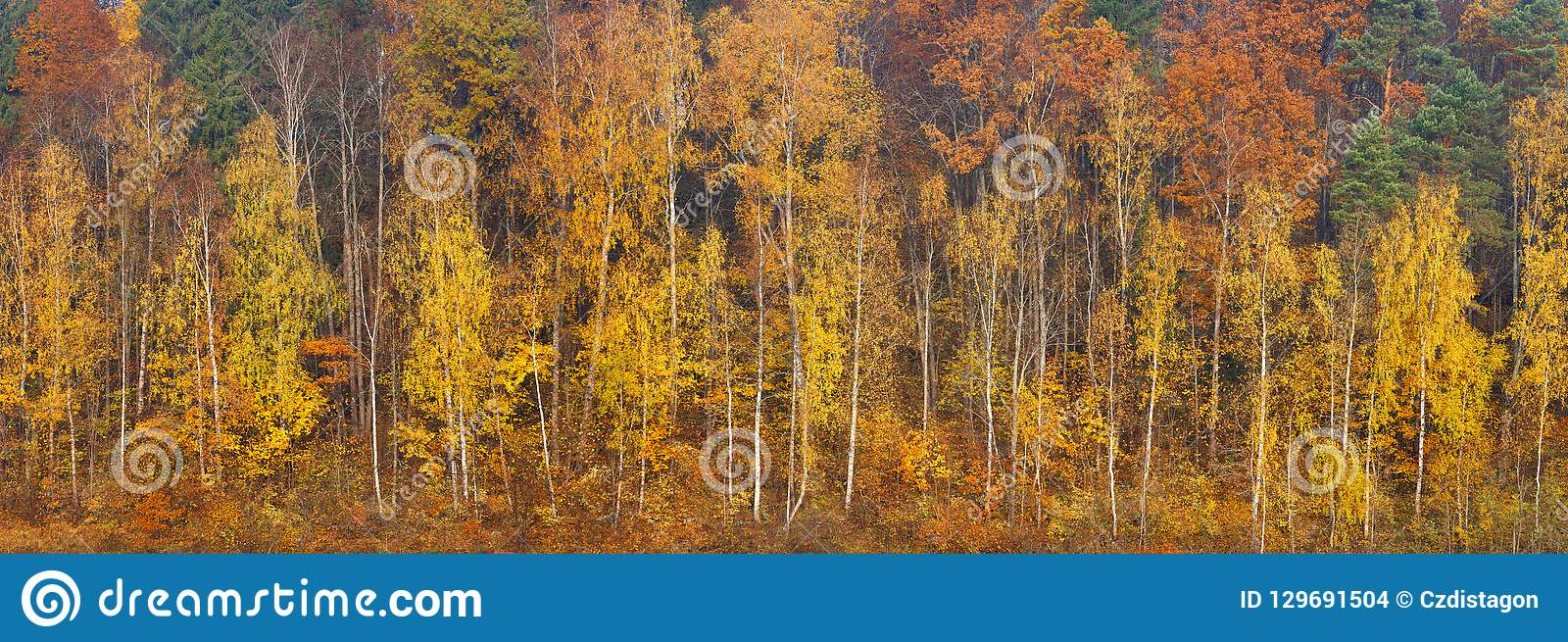 Bosque anaranjado, rojo y verde hermoso del otoño, muchos árboles en el panorama anaranjado de las colinas Bandera larga del web