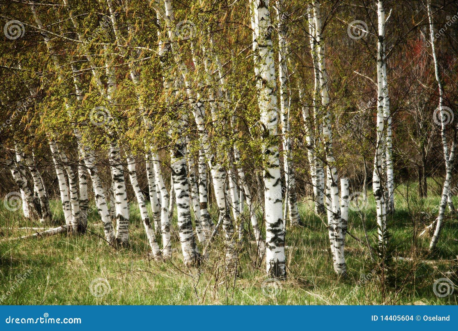 Bosque da árvore de vidoeiro