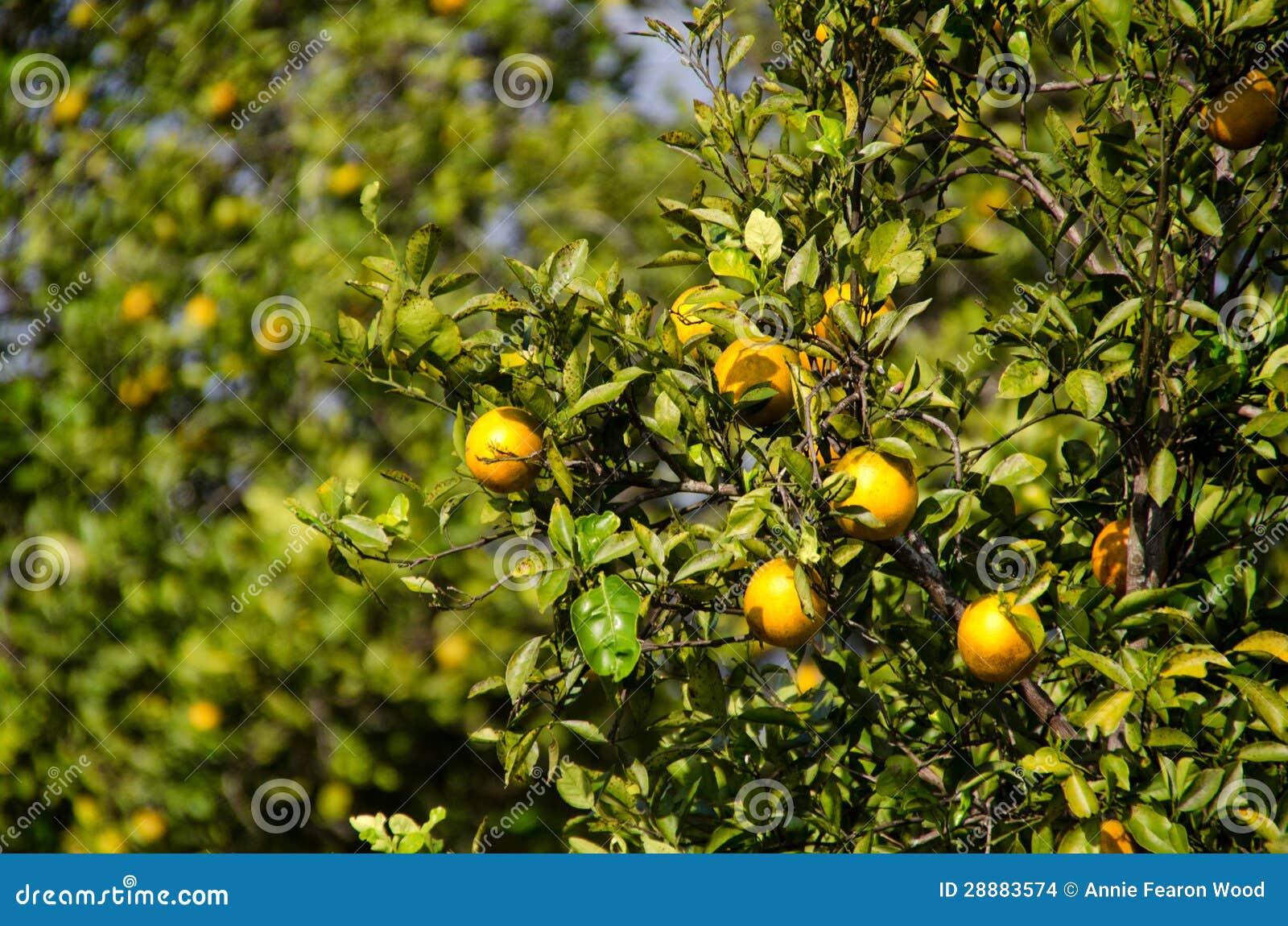Bosque da laranja de Florida