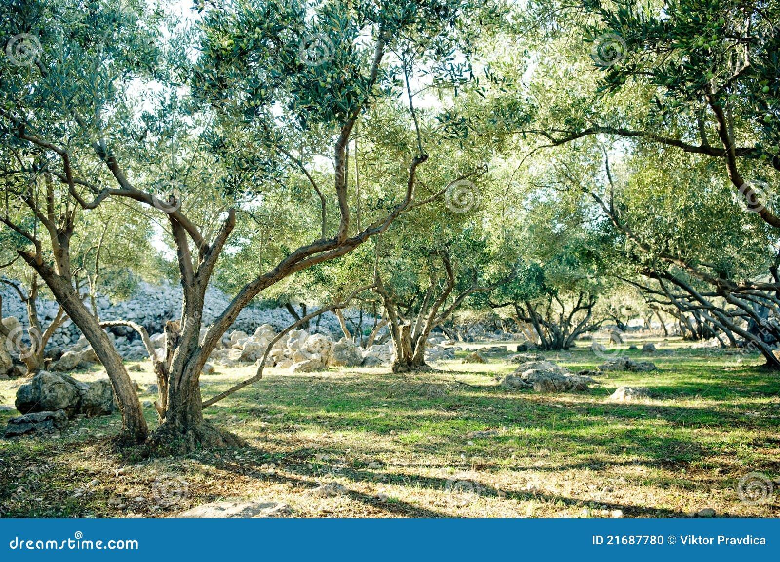 Bosque das oliveiras