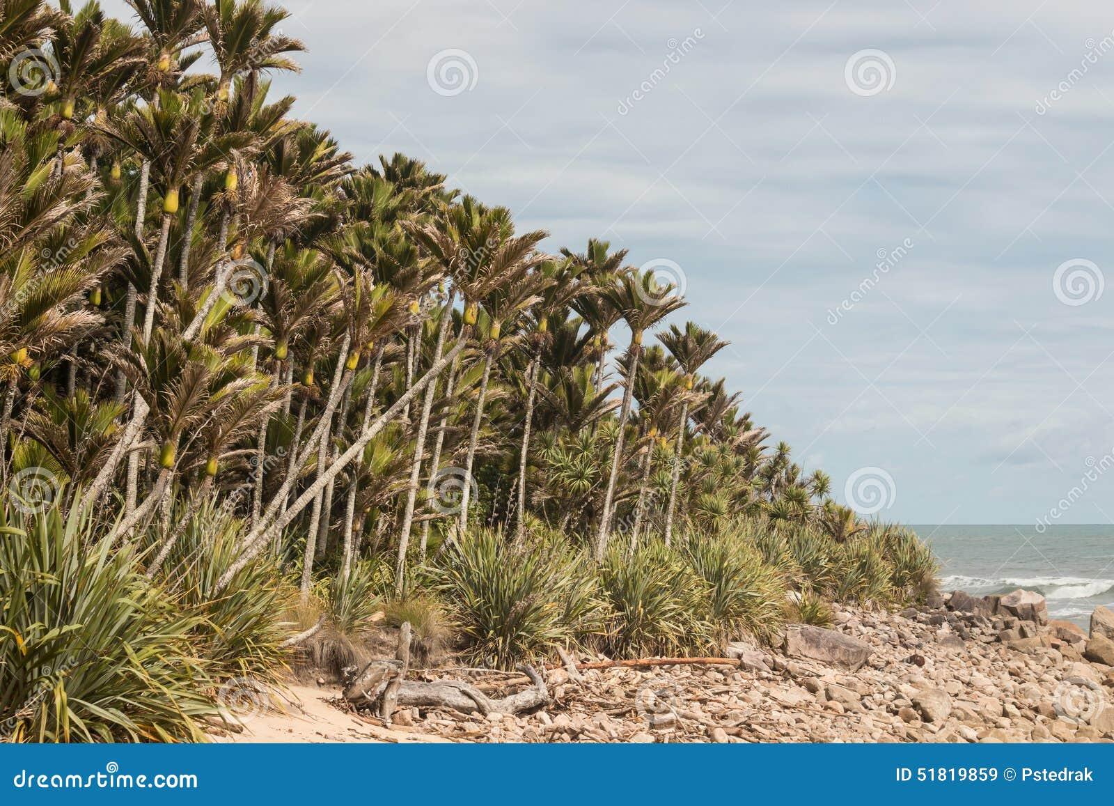 Bosque das palmas de Nikau