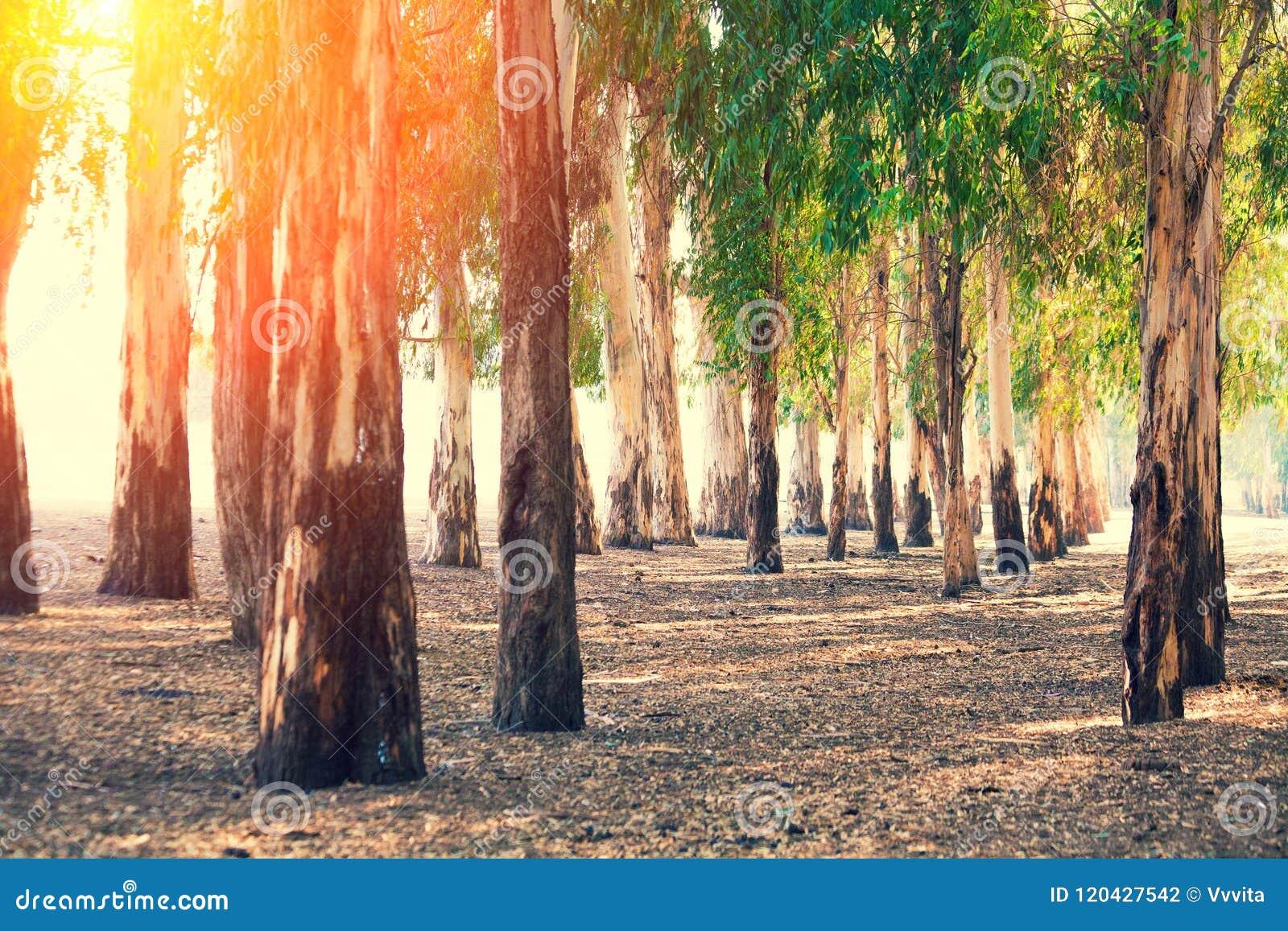 Bosque de árvores de eucalipto
