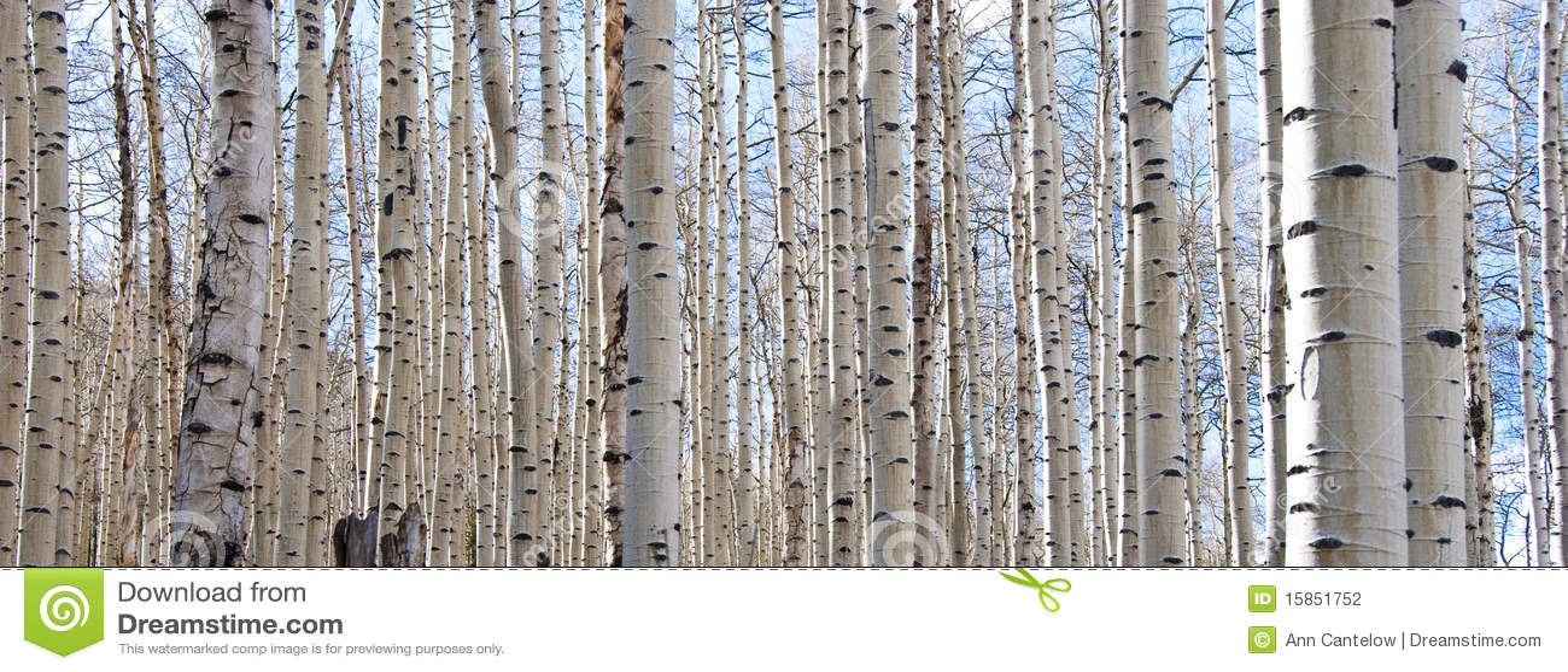 Bosque de Aspen con los troncos descubiertos y el cielo azul