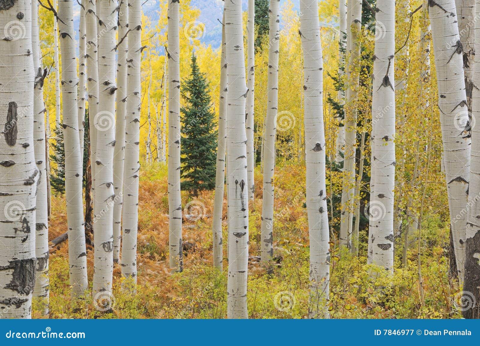 Bosque de Aspen del otoño