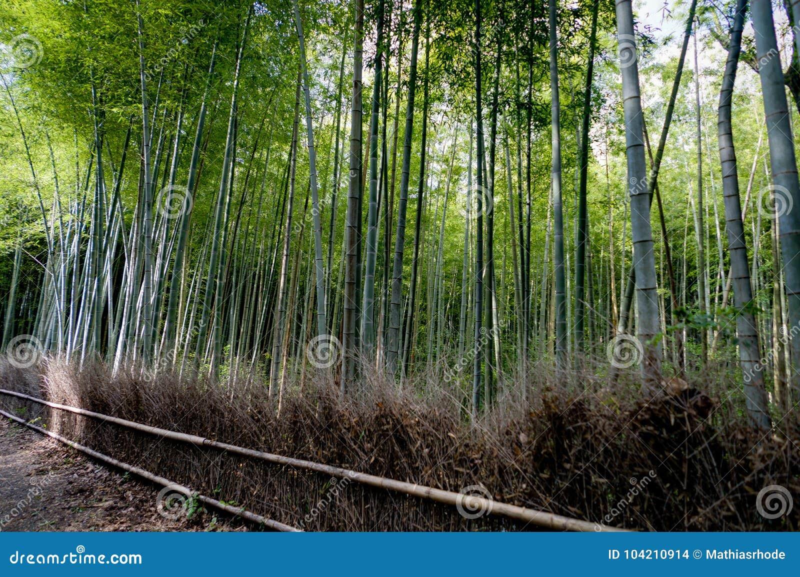 Bosque de bambu famoso em Arashiyama, Kyoto