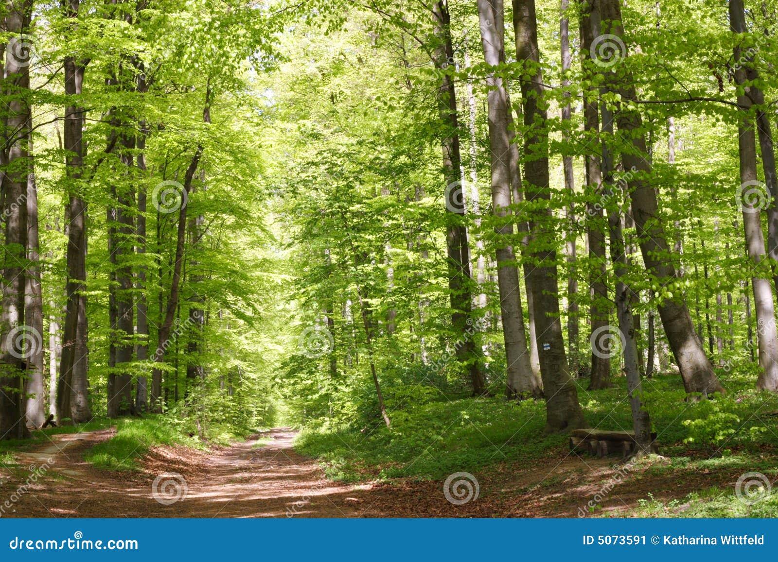 Bosque de la haya durante primavera