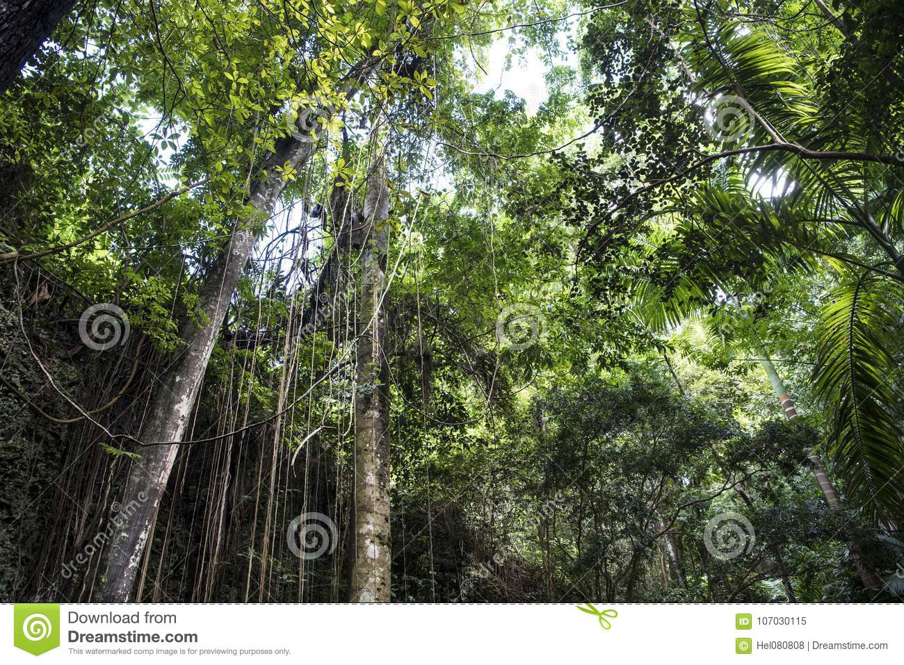 Bosque de la selva en Welchman Hall Gully, Barbados