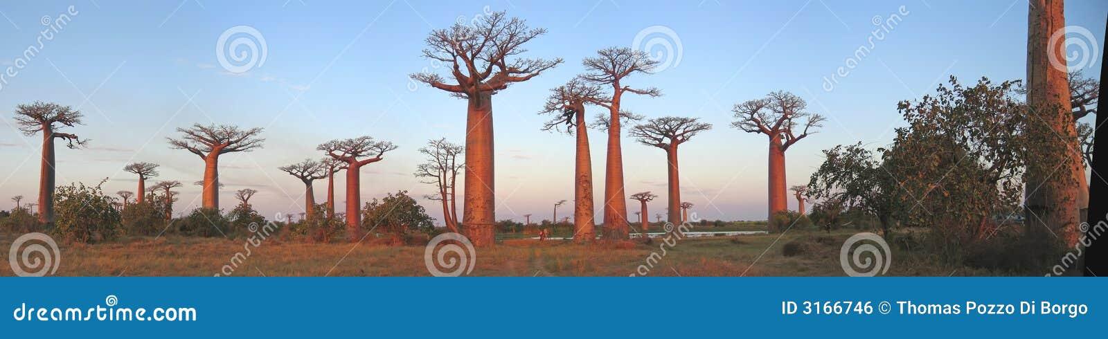 Bosque de los baobabs, callejón del baobab