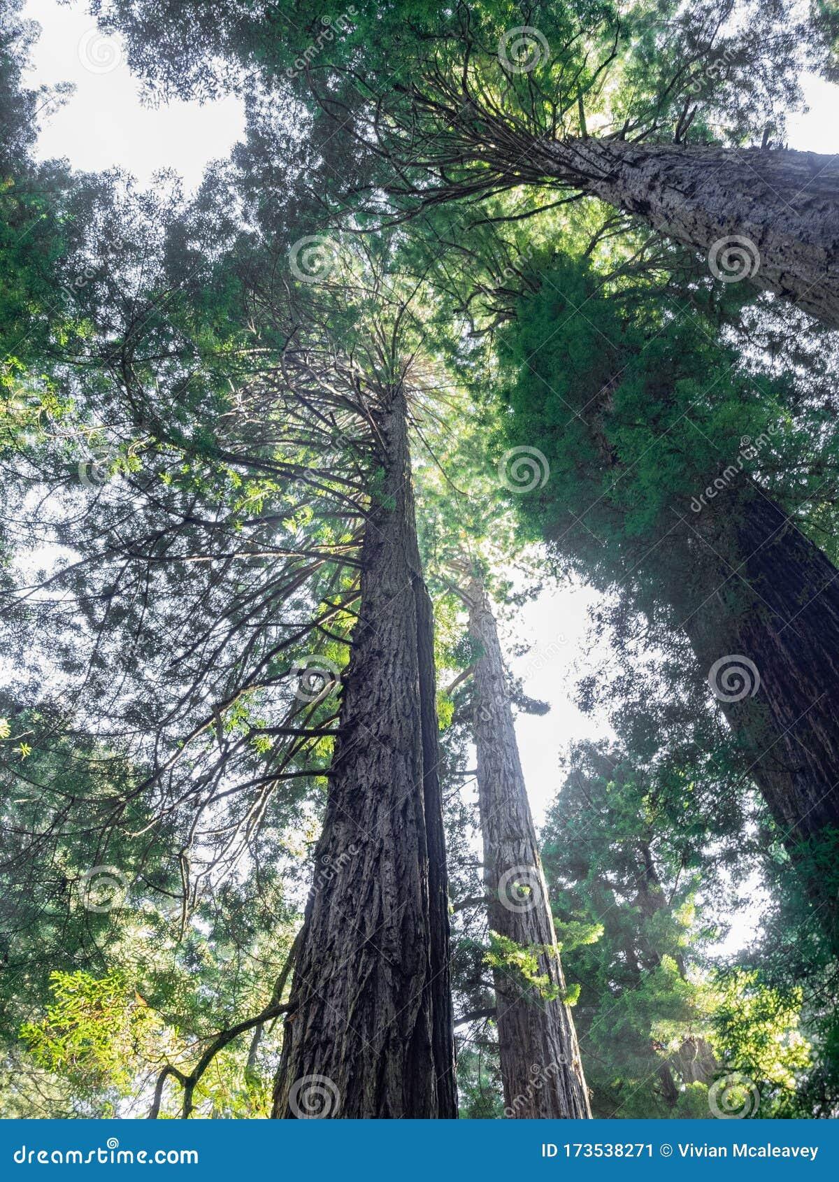 Bosque De Secuoya Imagen De Archivo Imagen De California 173538271