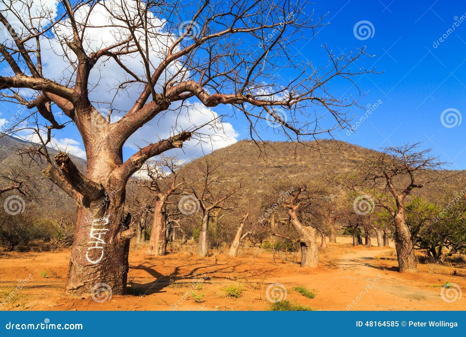 Bosque del árbol del baobab en África