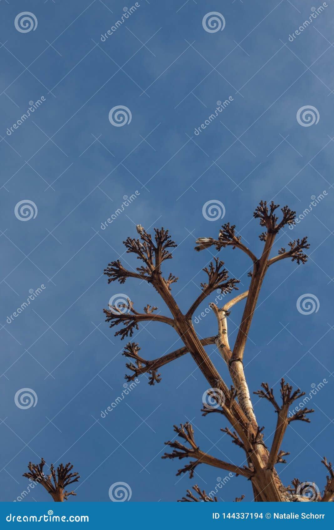 Bosque del Apache New mexico, baixa vista que olha acima na haste inoperante da flor da planta de século da agave