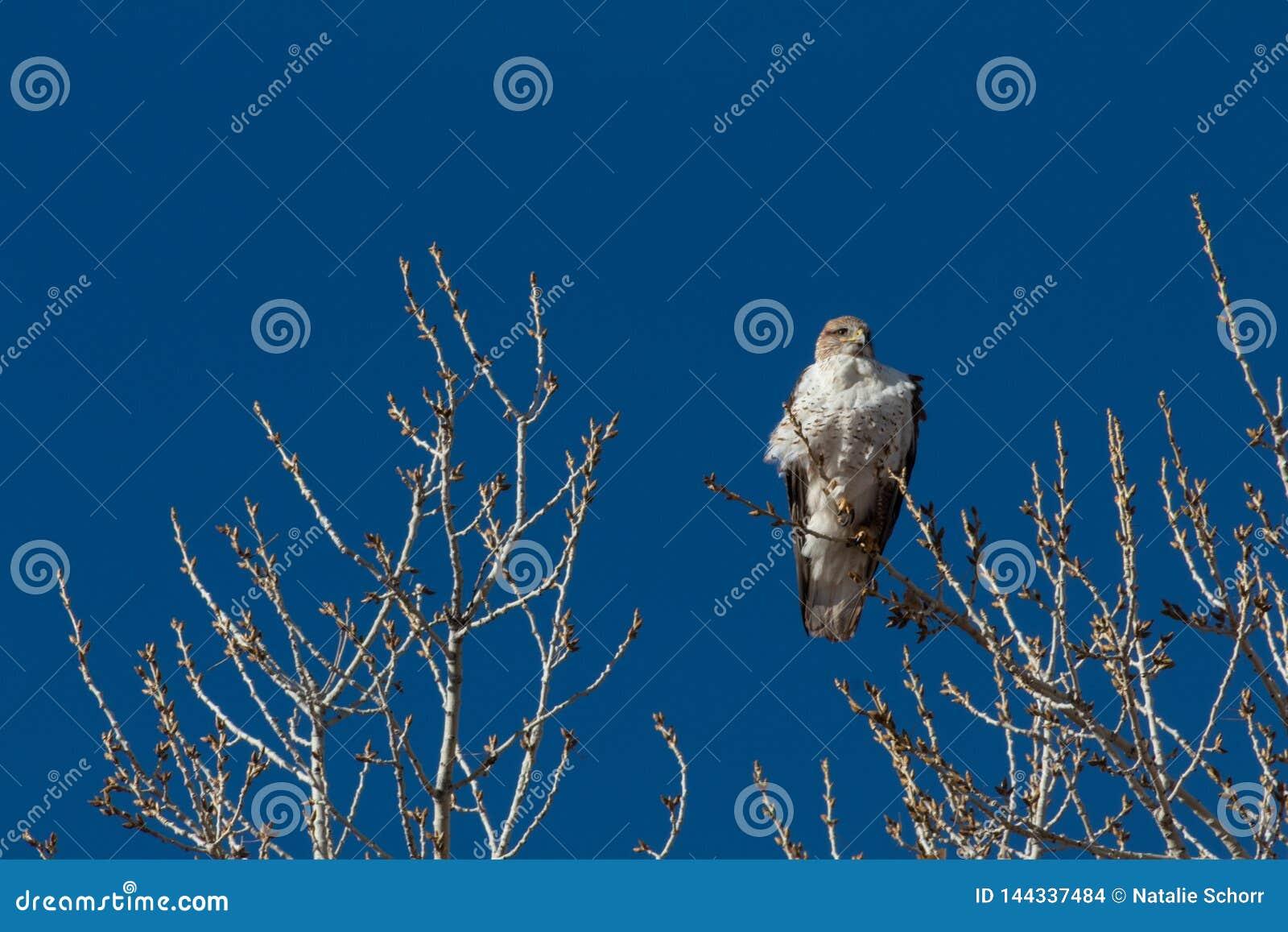 Bosque del Apache New Mexico, Ferruginous Hawk Buteo regalis against a brilliant blue sky, bare winter branches