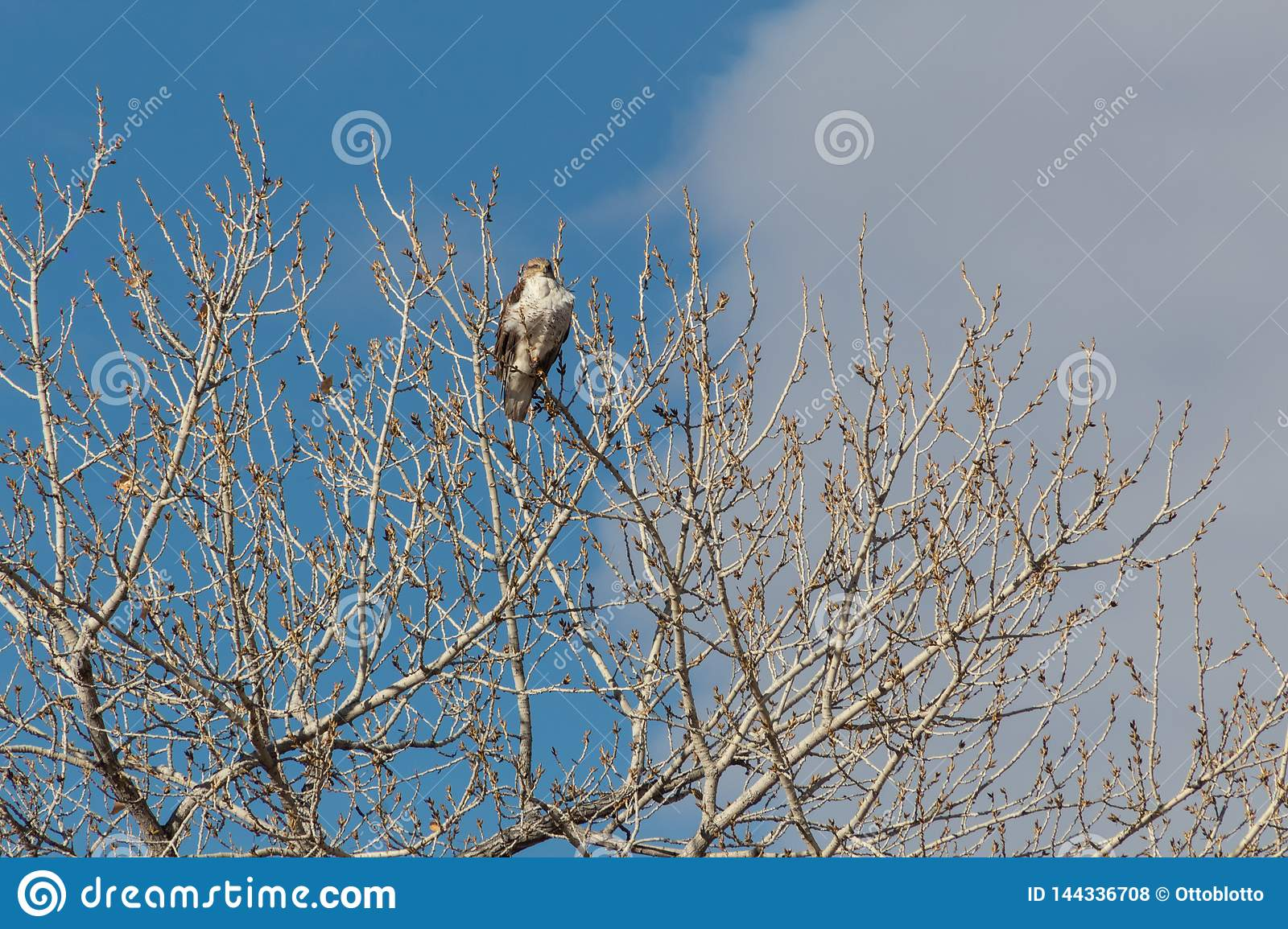 Bosque del Apache New Mexico, Ferruginous Hawk Buteo regalis looking out from top of bare cottonwood tree, winter