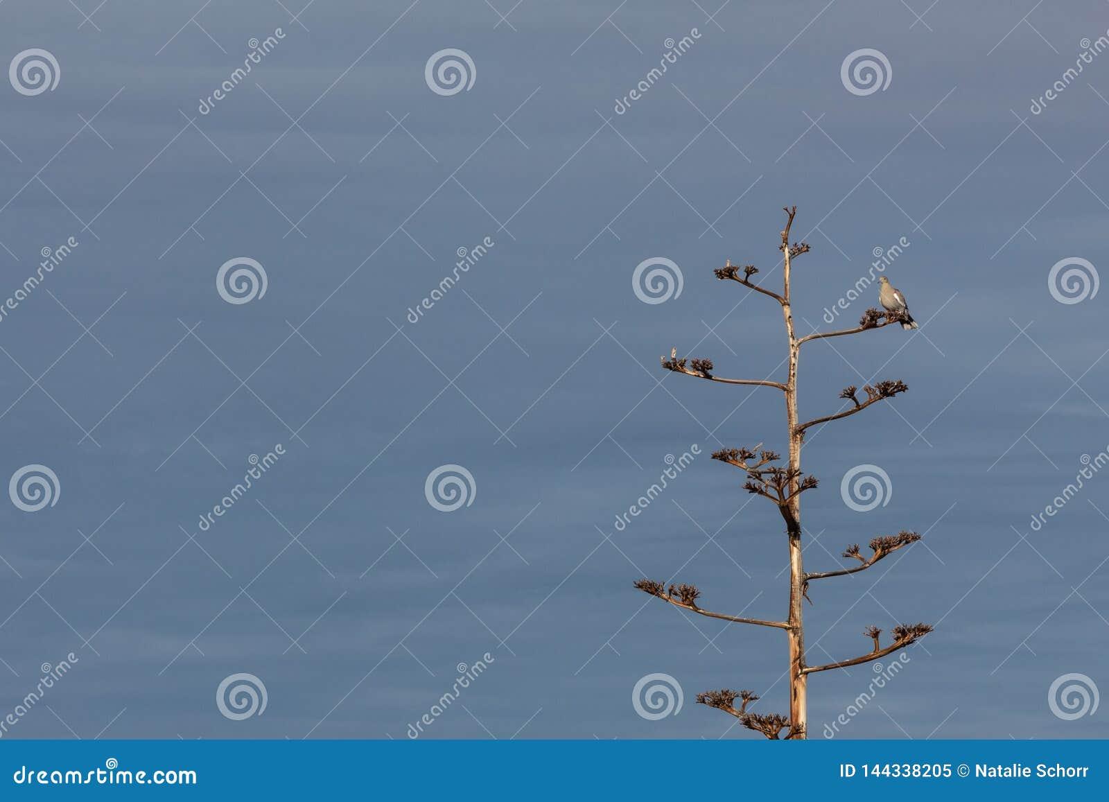 Bosque del Apache New mexico, pomba Branco-voada Zenaida asiatica em uma planta de século da agave contra um céu azul