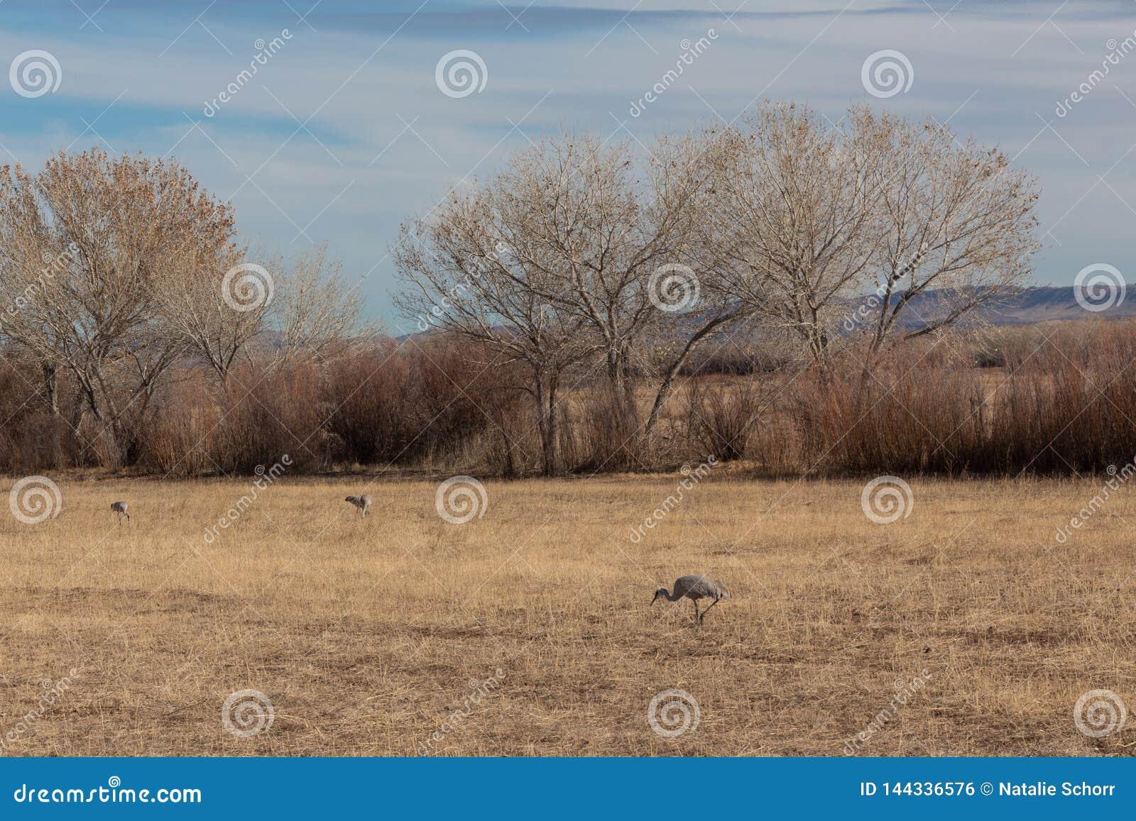 Bosque del Apache New Mexico, Sandhill cranes Antigone canadensis in field before cottonwoods and tall grasses