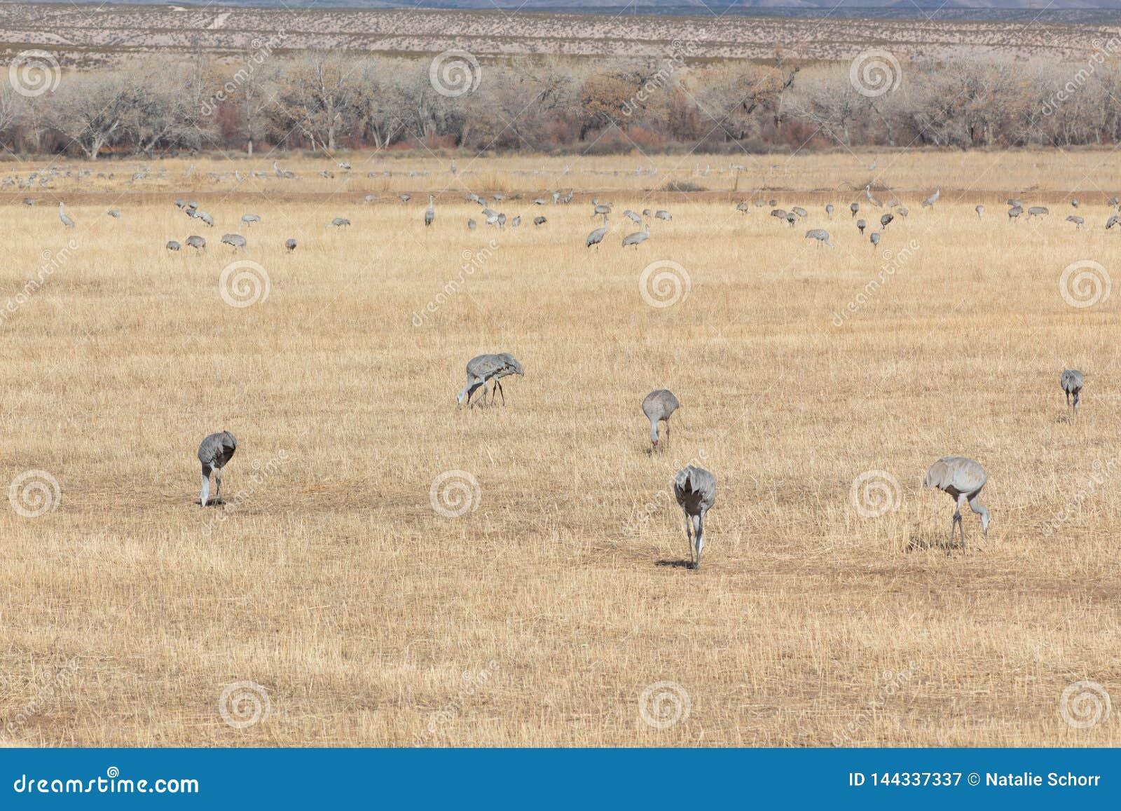 Bosque del Apache New Mexico, Sandhill cranes Antigone canadensis flock feeding in open field, eary morning winter