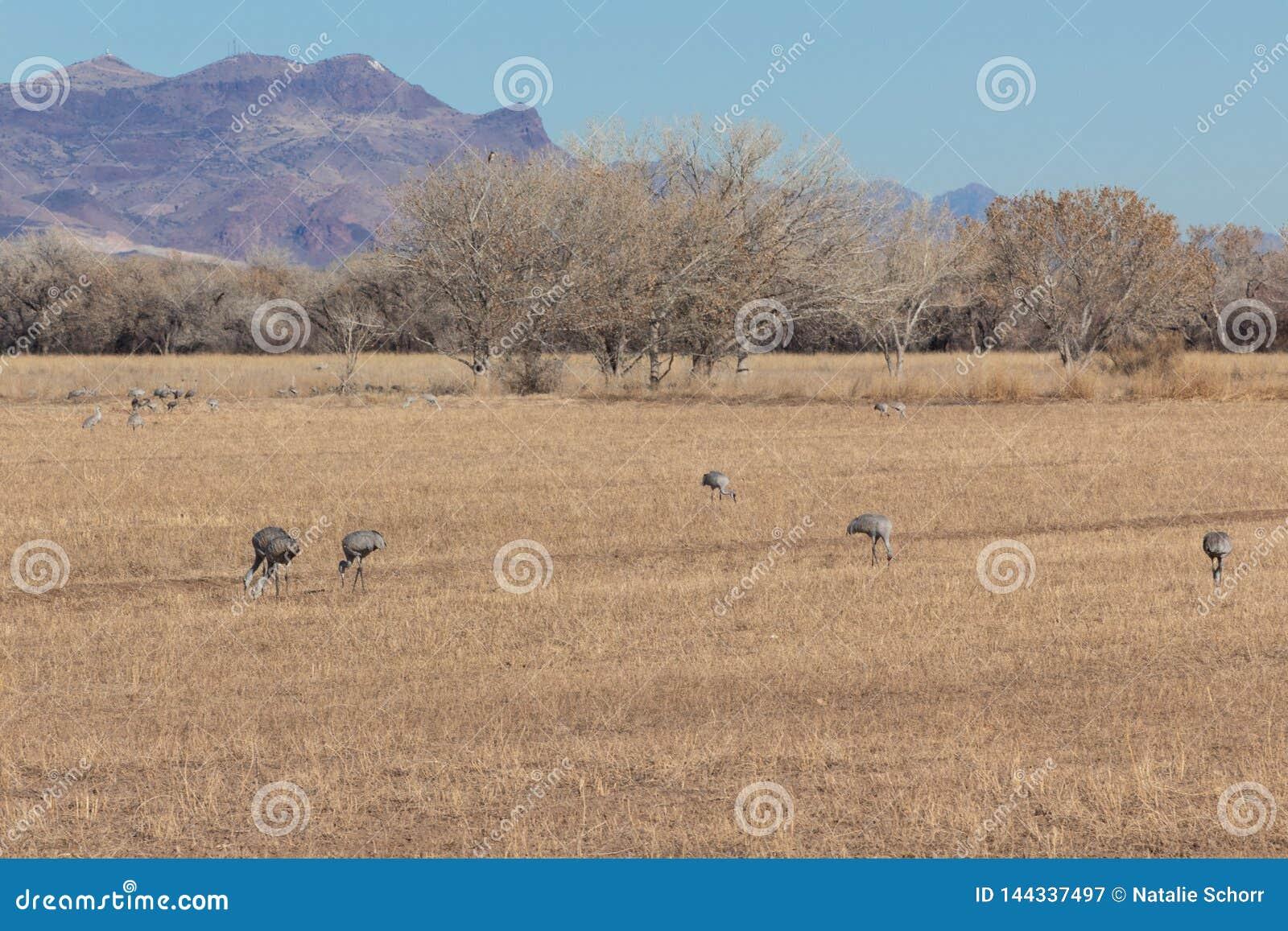 Bosque del Apache New Mexico, Sandhill cranes Antigone canadensis in open fields in winter