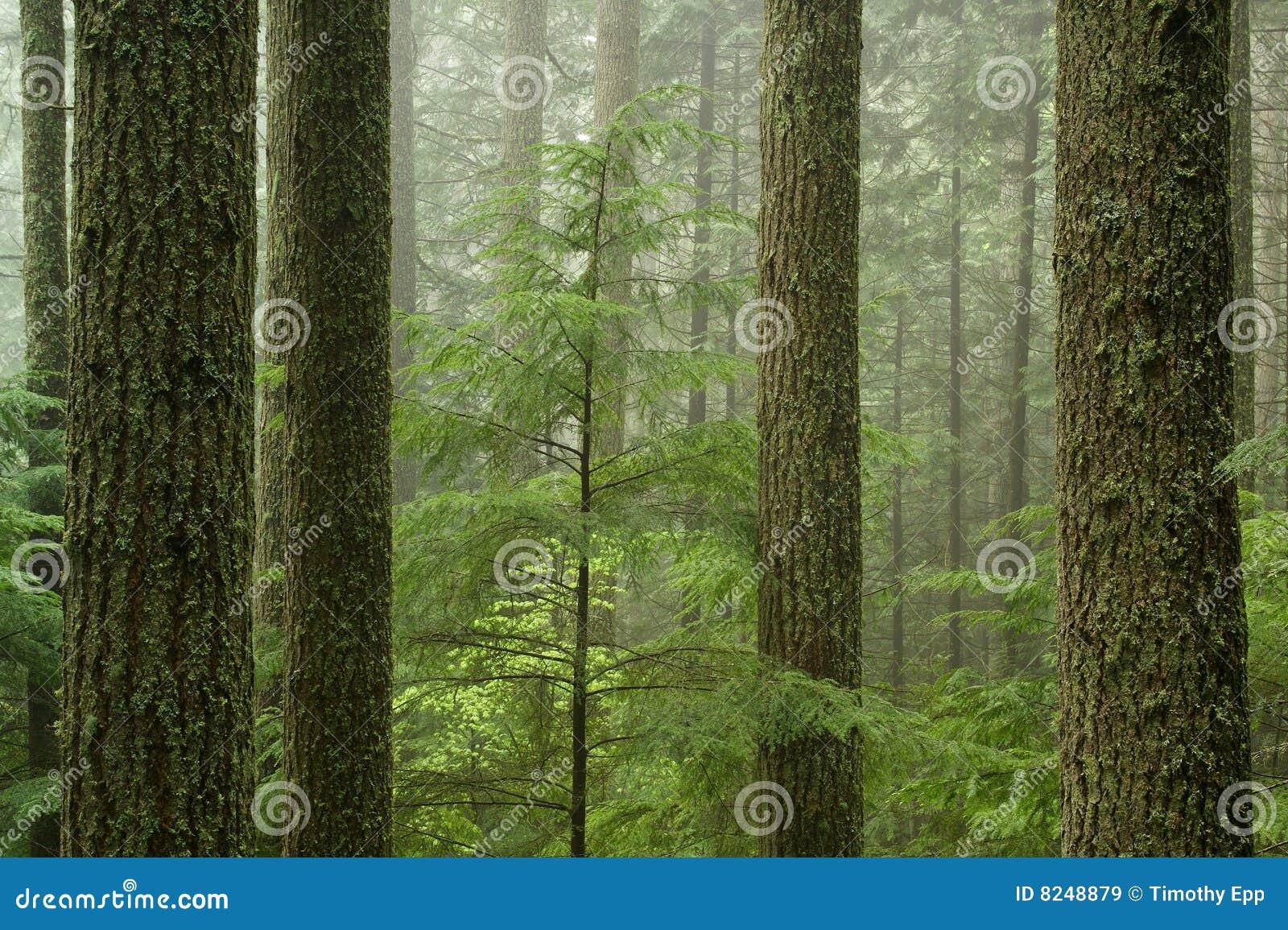 Bosque del Hemlock occidental (heterophylla del Tsuga)