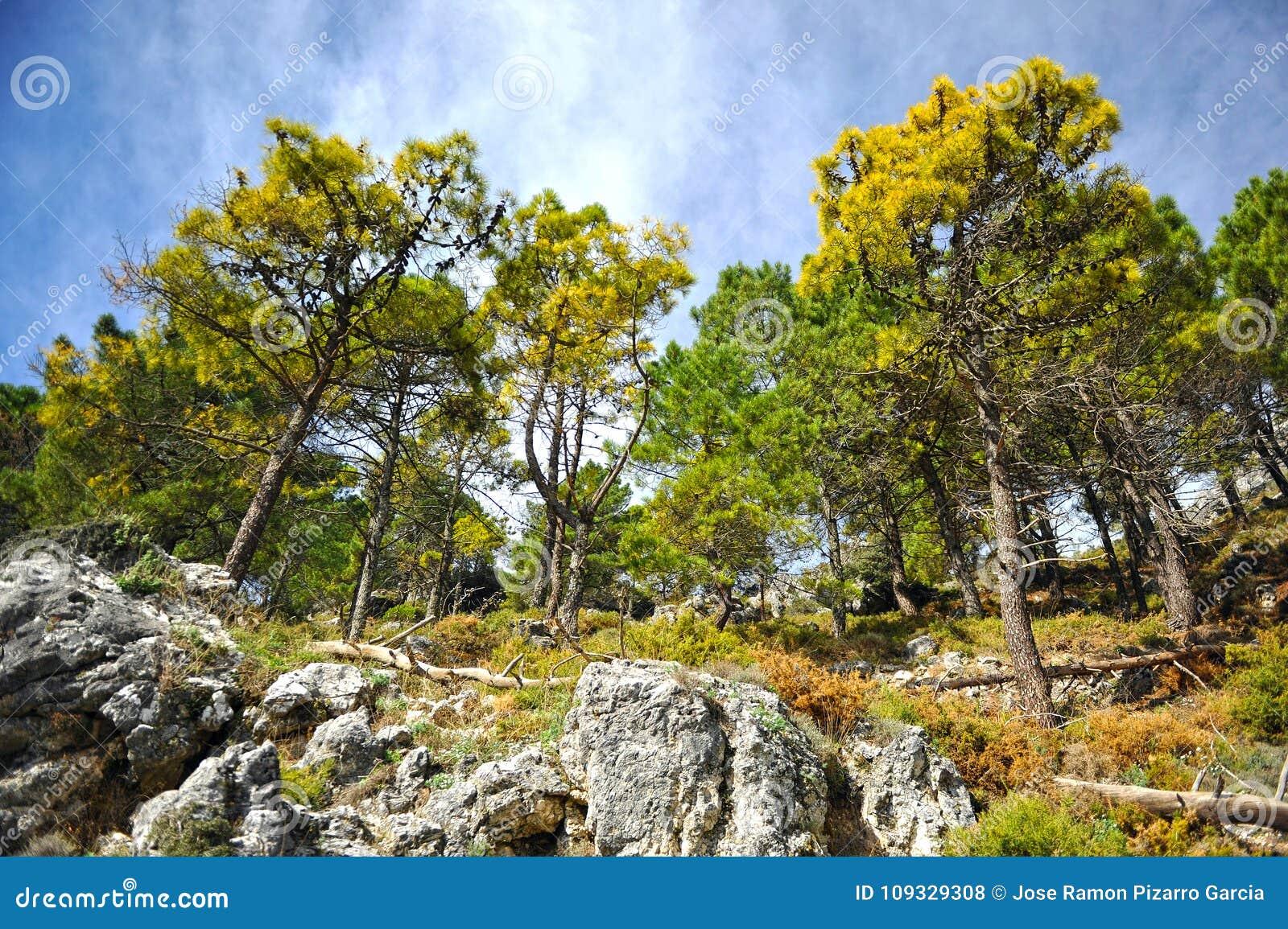 Bosque Del Pino En El Parque Natural De Sierra De Grazalema Provincia Del Diz Del De Ca Espana Foto De Archivo Imagen De Encontrado Provincia 109329308