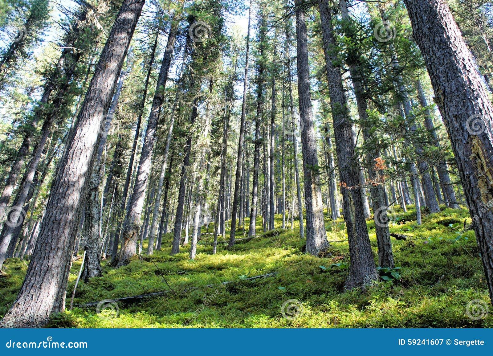 Download Bosque Del Pino En Las Montañas De Sayan Siberia Imagen de archivo - Imagen de blanco, belleza: 59241607