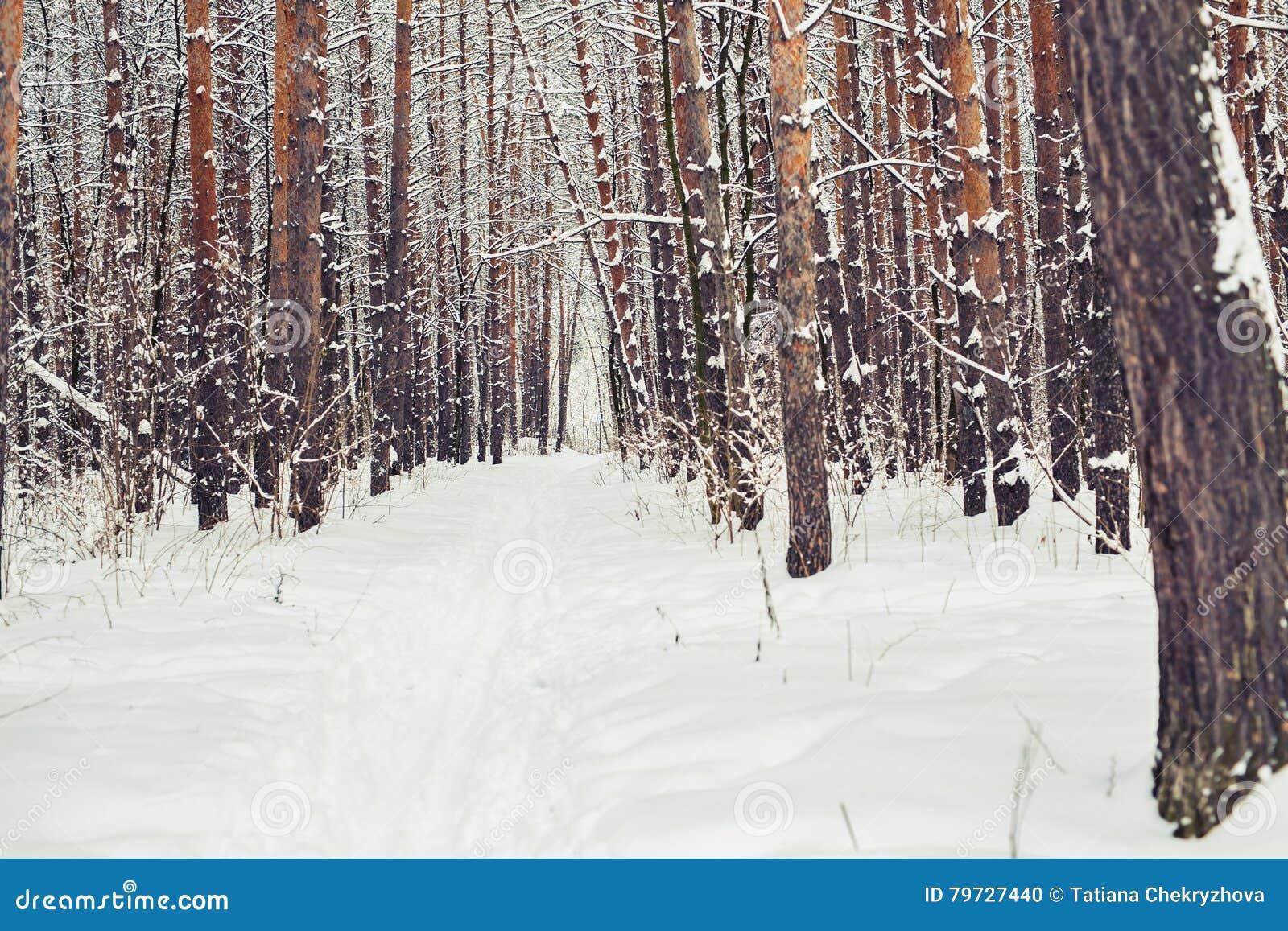 Bosque del pino, invierno