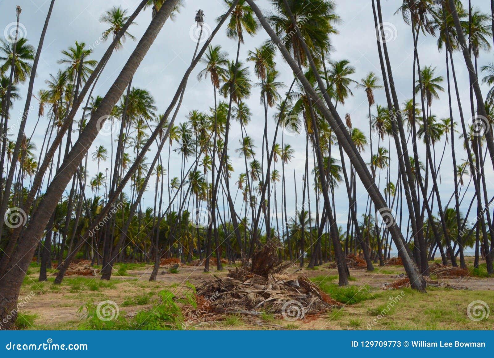 Bosque do coco de Kapuaiwa em Molokai