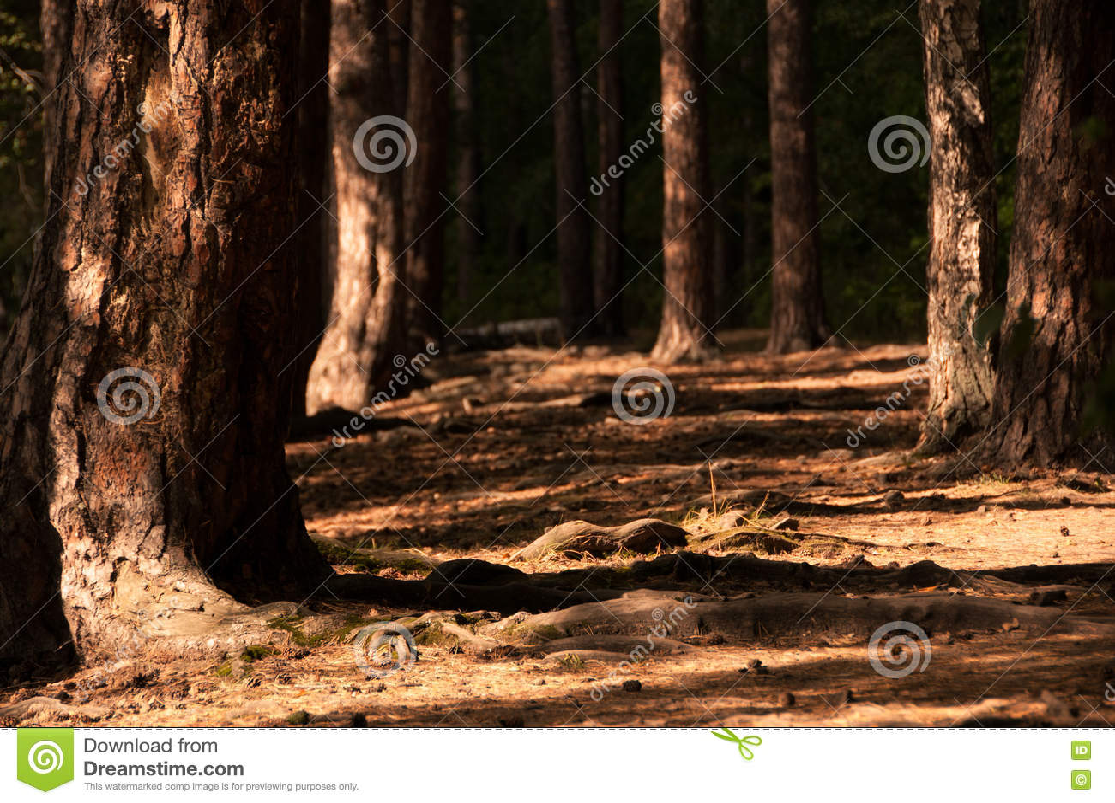 Bosque do pinho