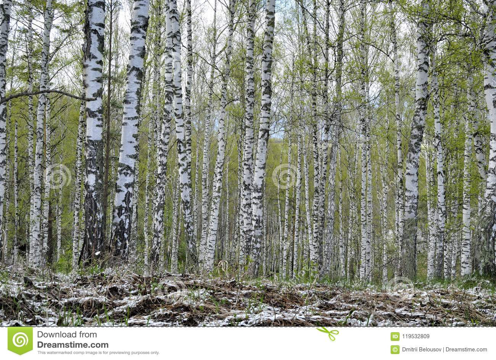 Bosque do vidoeiro na mola