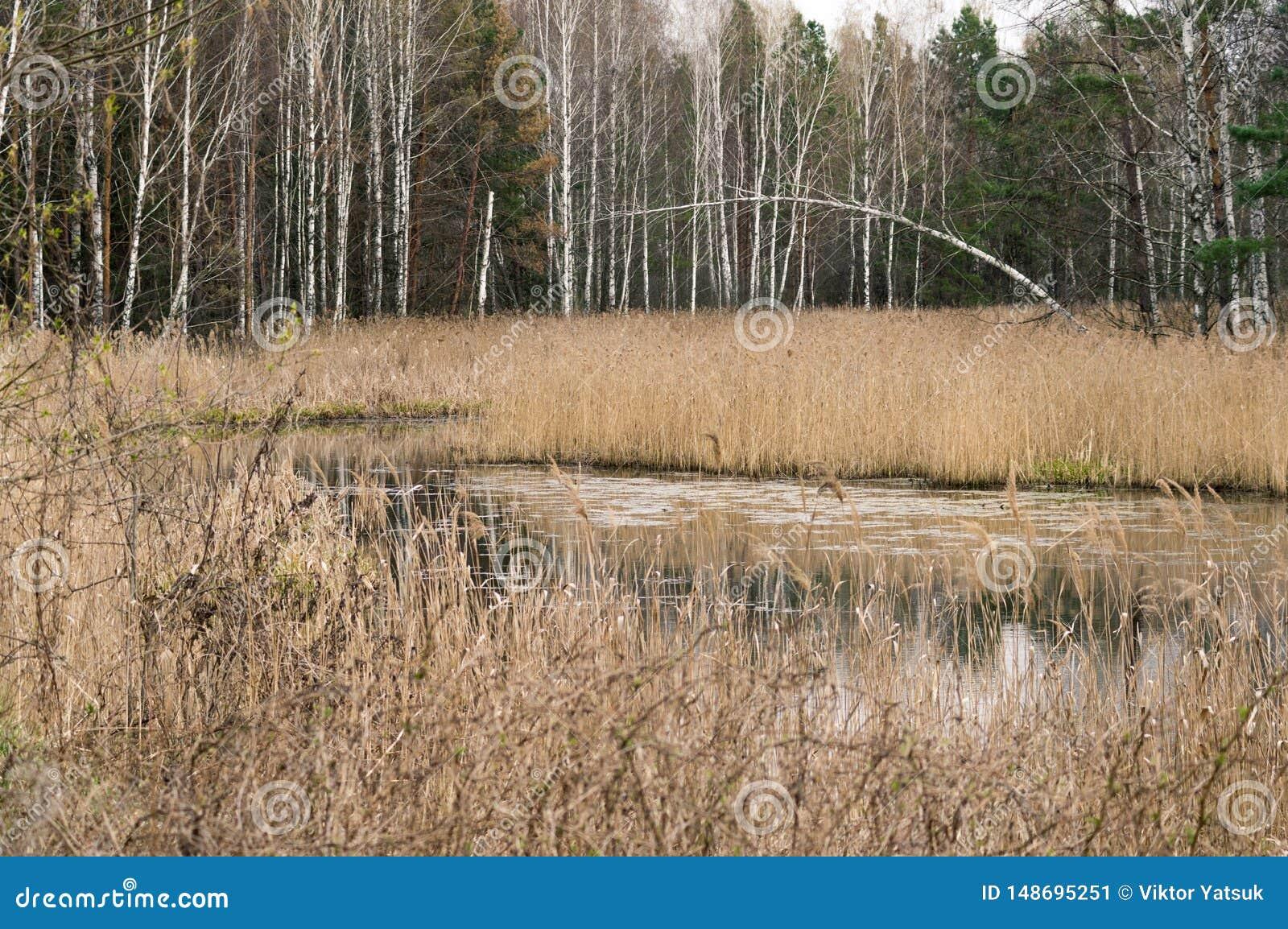 Bosque do vidoeiro no bosque do vidoeiro da floresta pelo rio