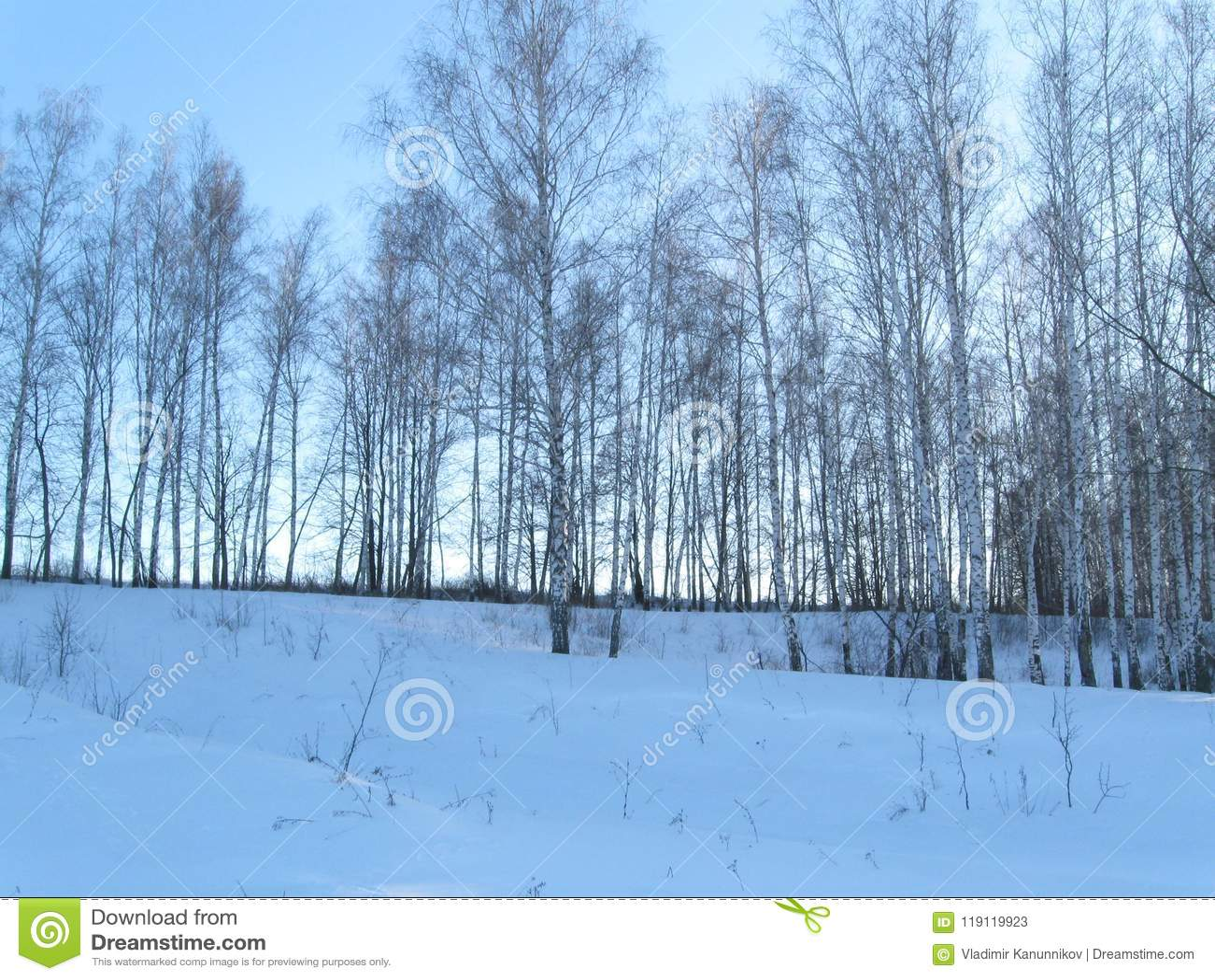 Bosque joven del abedul del invierno