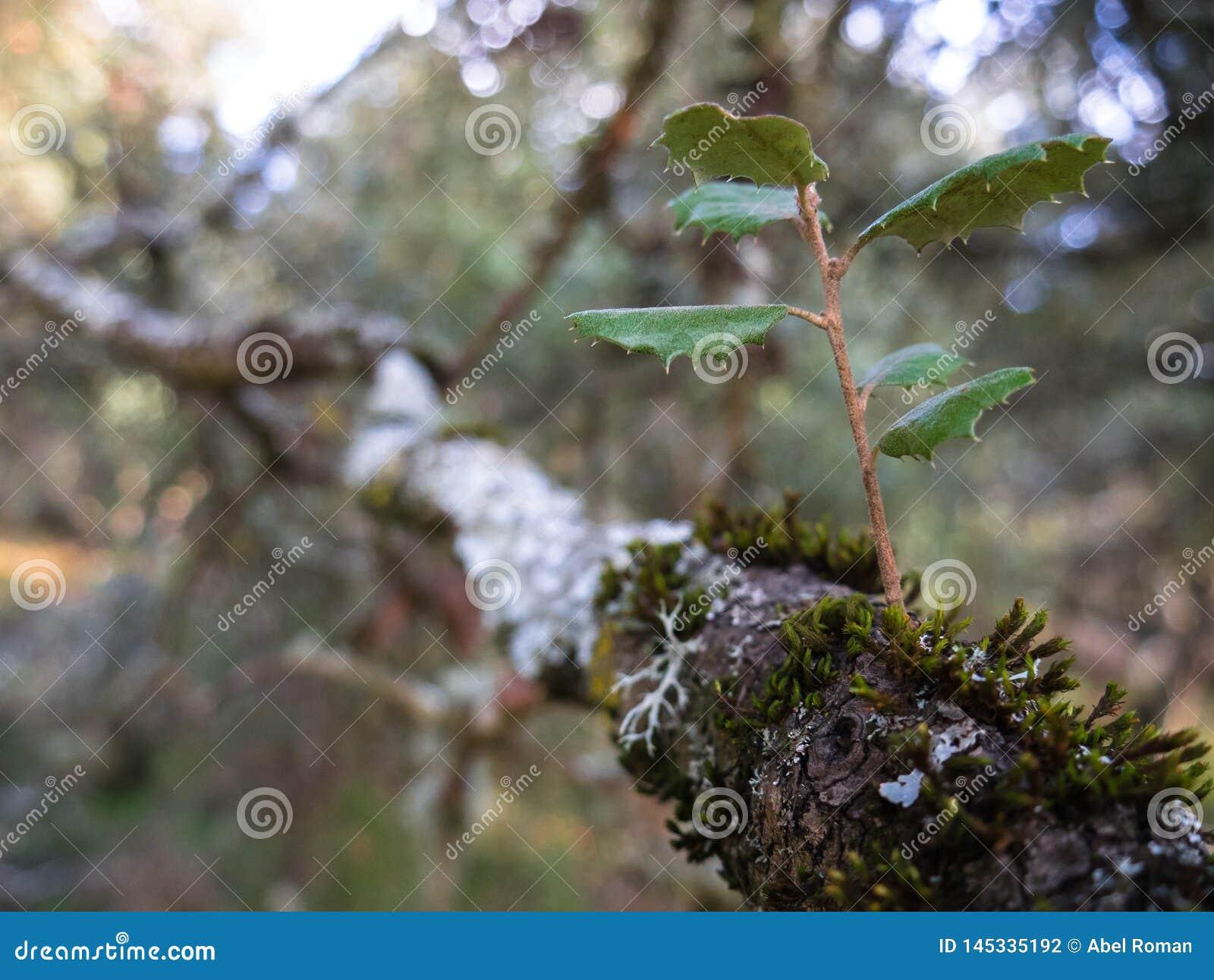 Bosque misterioso, liquenes en ramas de árboles y troncos viejos