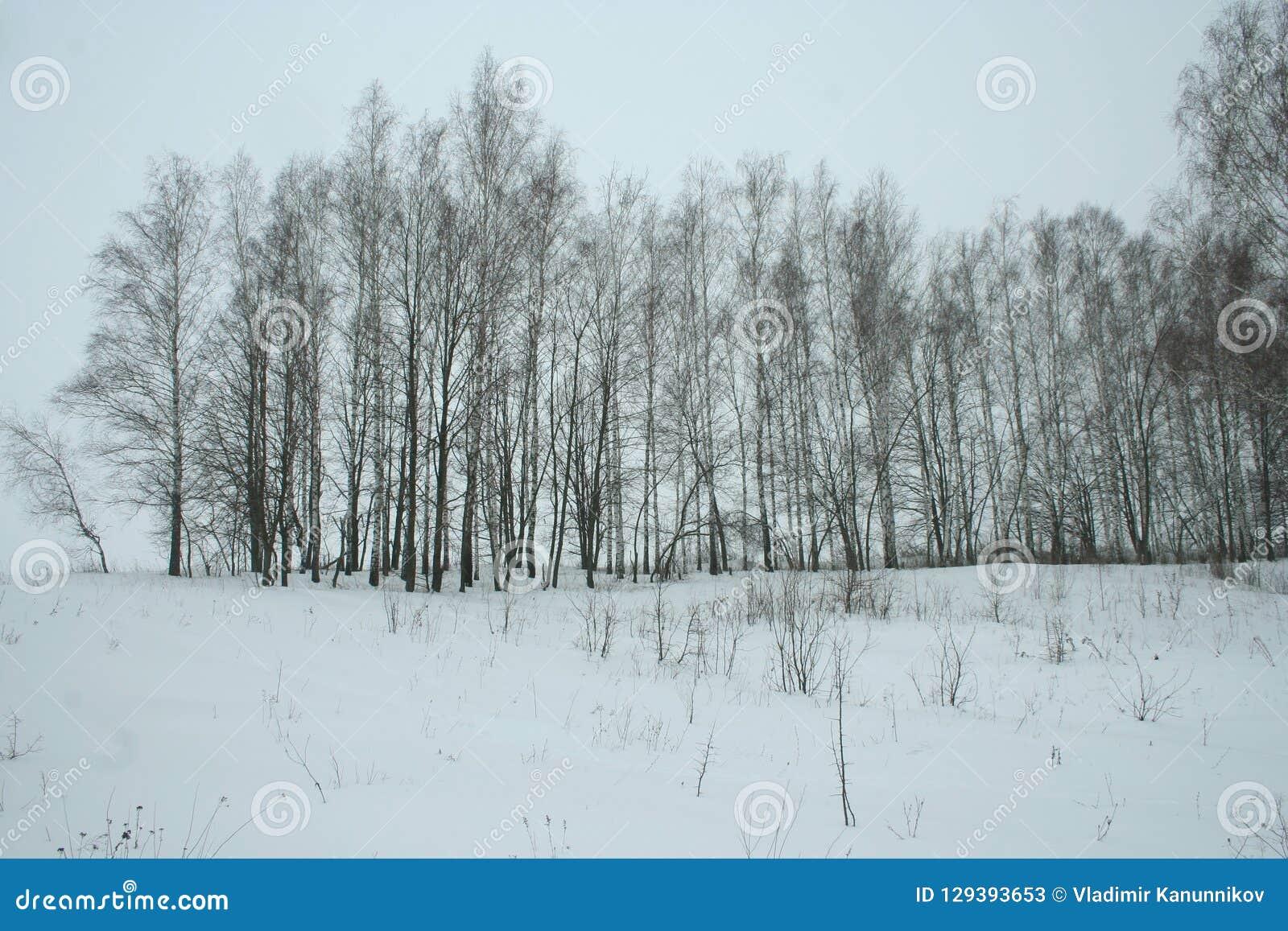 Bosque novo do vidoeiro do inverno