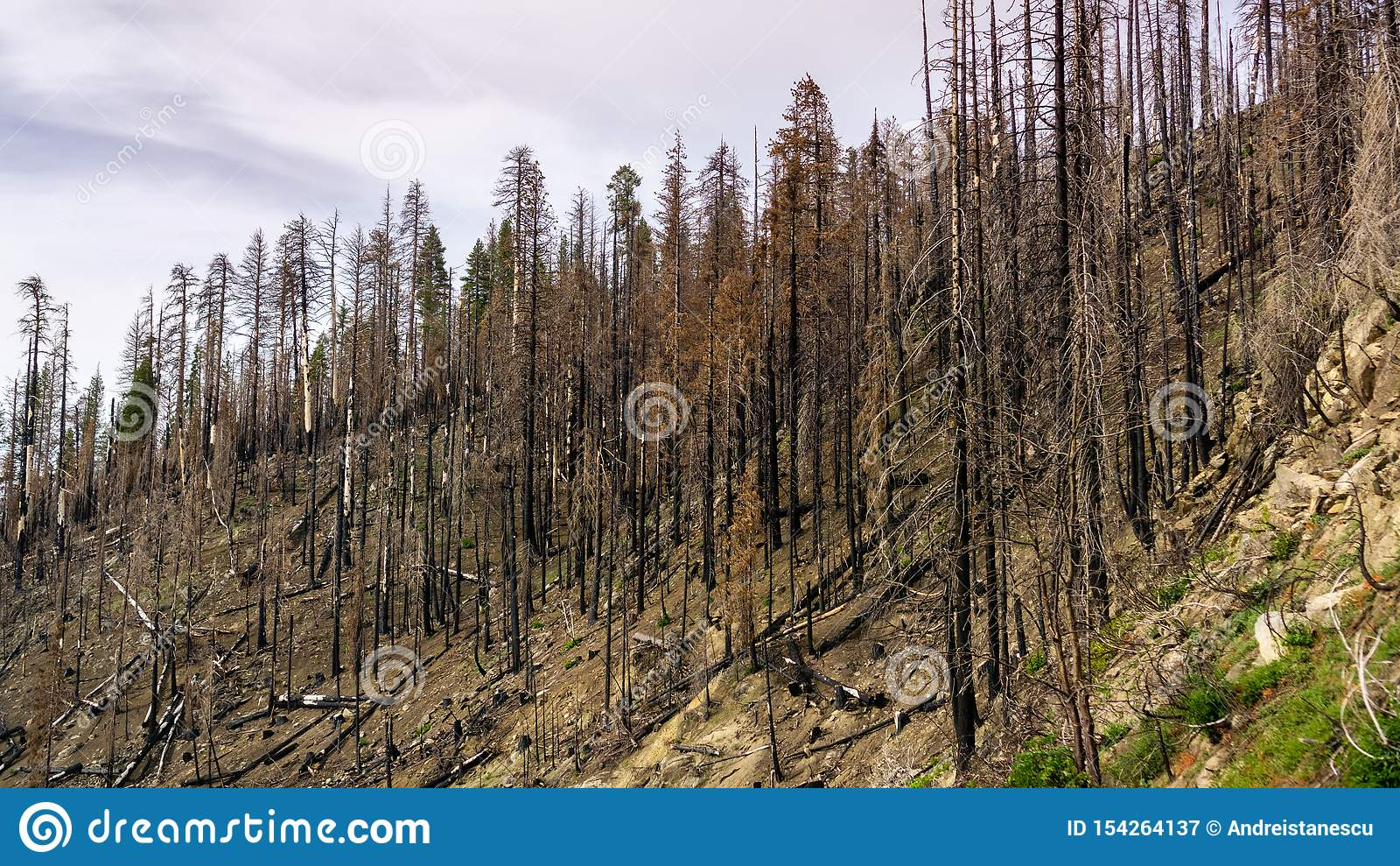 Bosque quemado como resultado del incendio fuera de control 2018 de Ferguson en el parque nacional de Yosemite, Sierra Nevada Mou