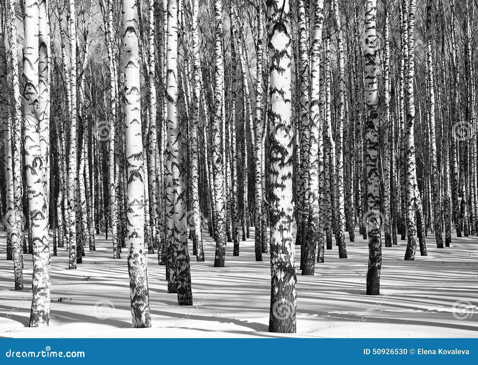 Bosque soleado del abedul blanco y negro foto de archivo imagen 50926530 - Abedul blanco ...