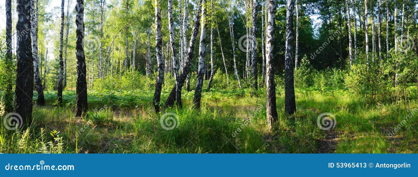 Bosque verde do vidoeiro