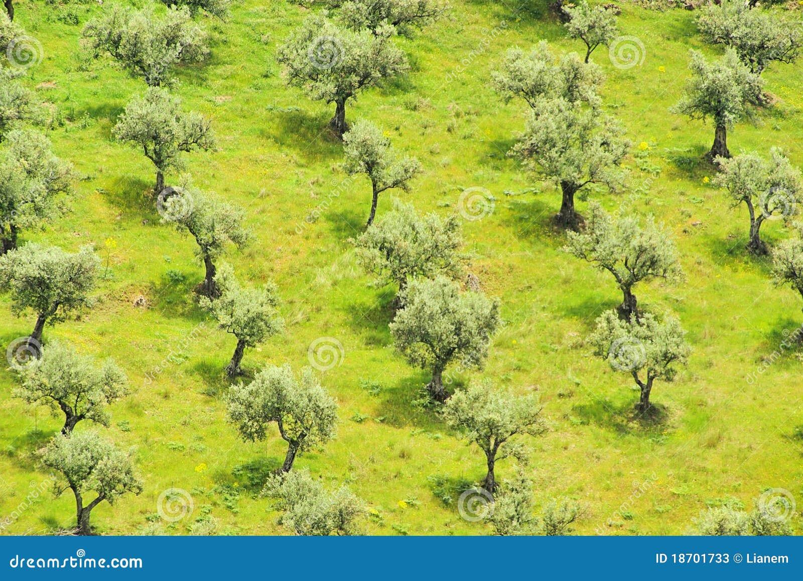 Bosque verde-oliva