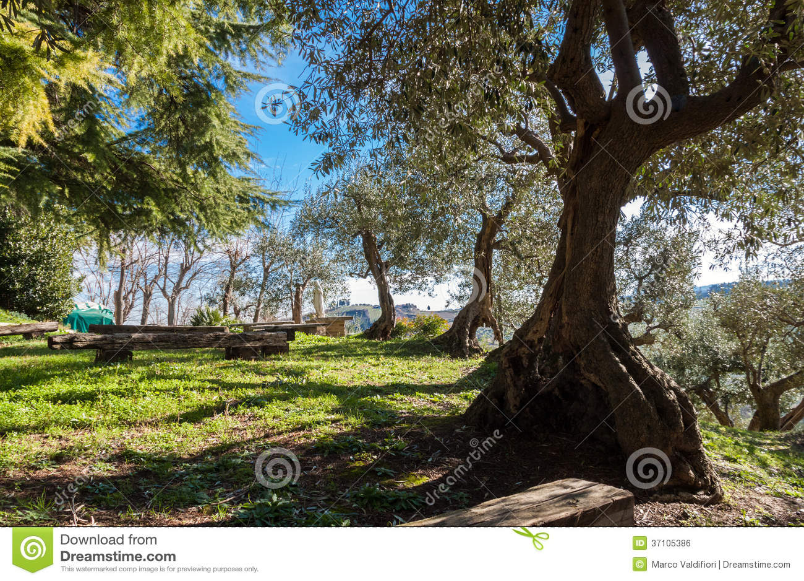 Bosque verde-oliva antigo