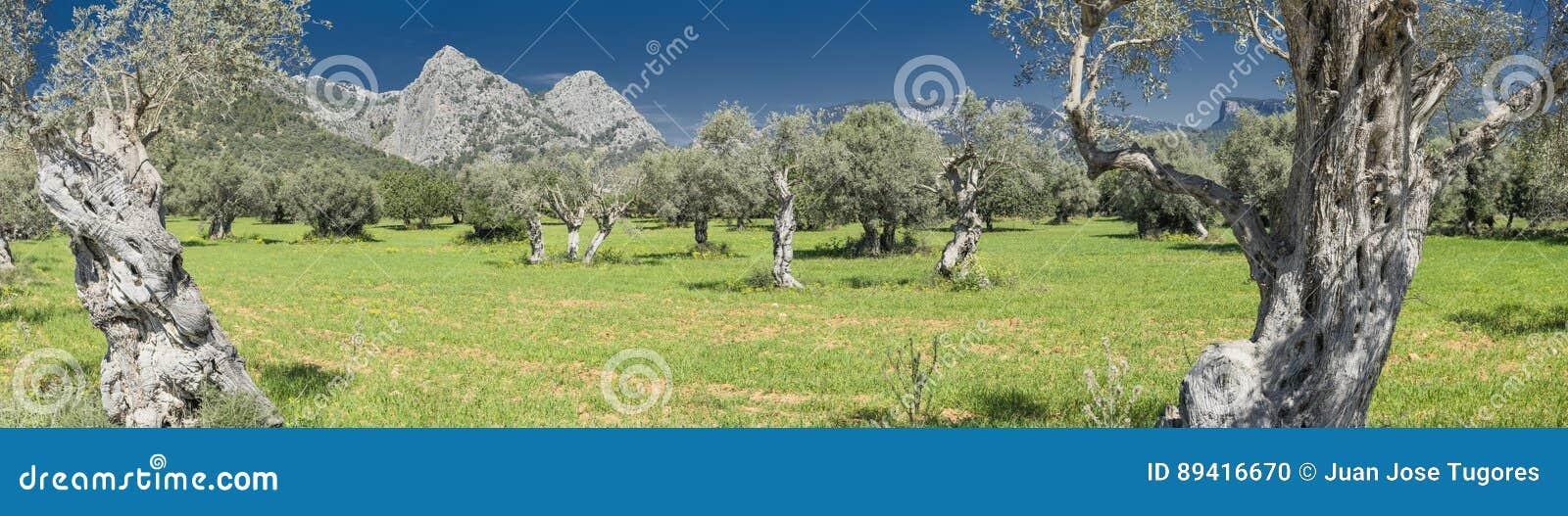 Bosque verde-oliva na ilha de Mallorca
