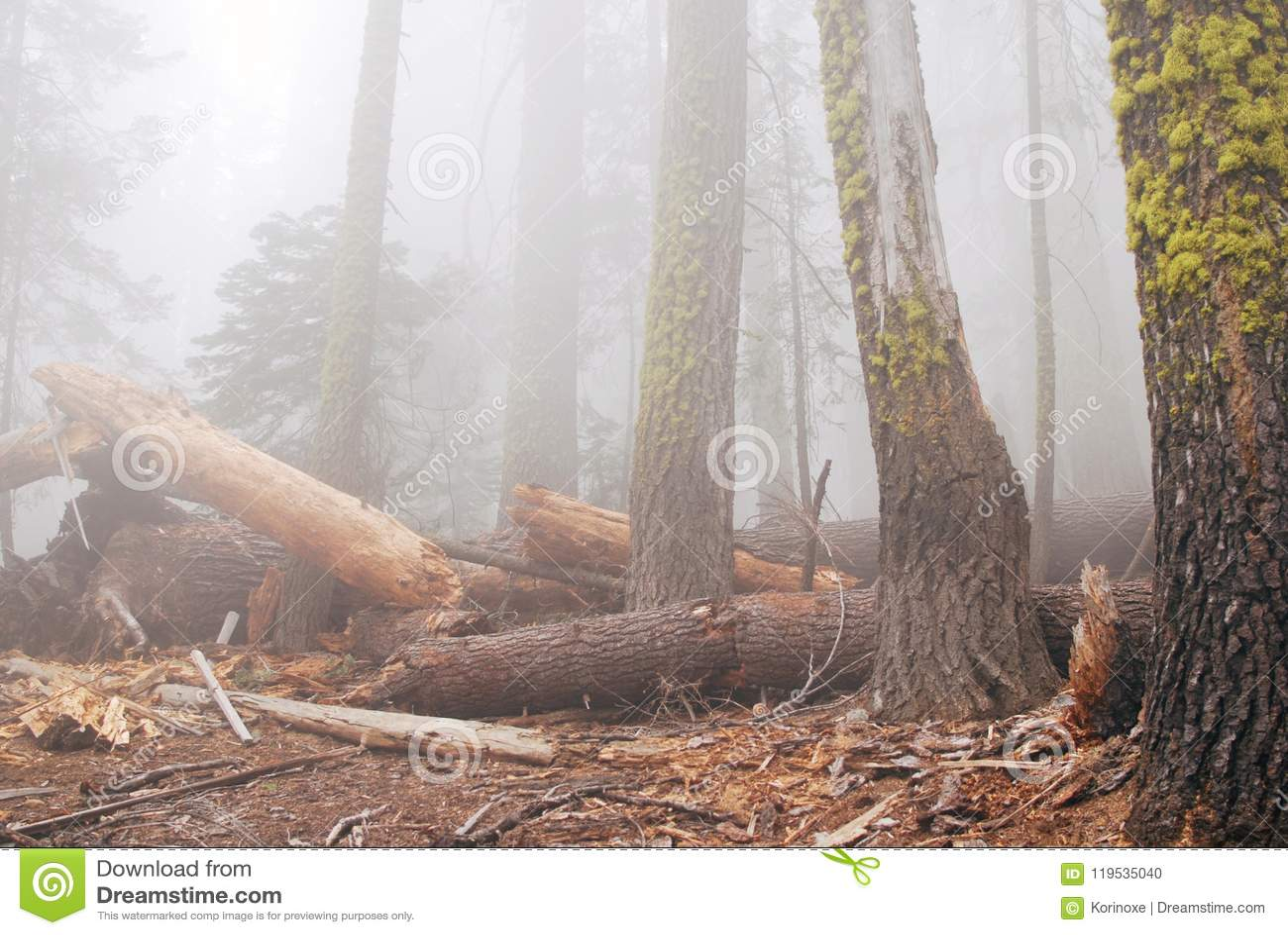 Bosque viejo en niebla densa