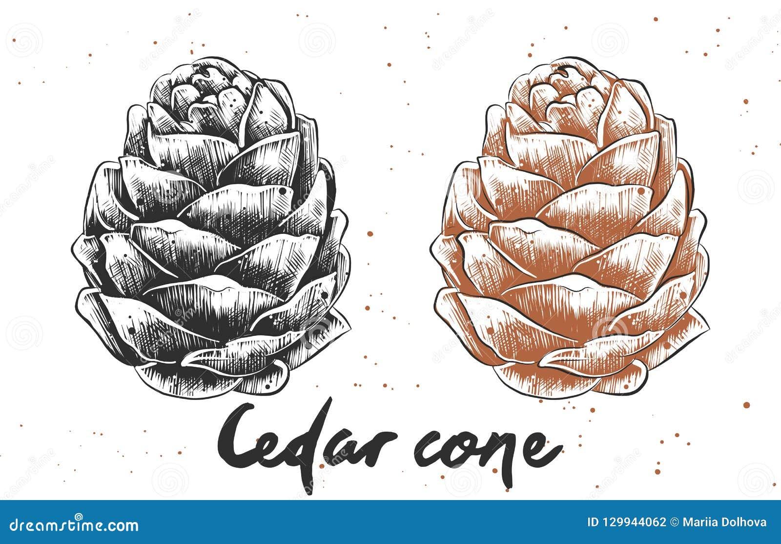 Bosquejo exhausto de la mano del cono del cedro en monocromático y colorido Dibujo vegetariano detallado de la comida