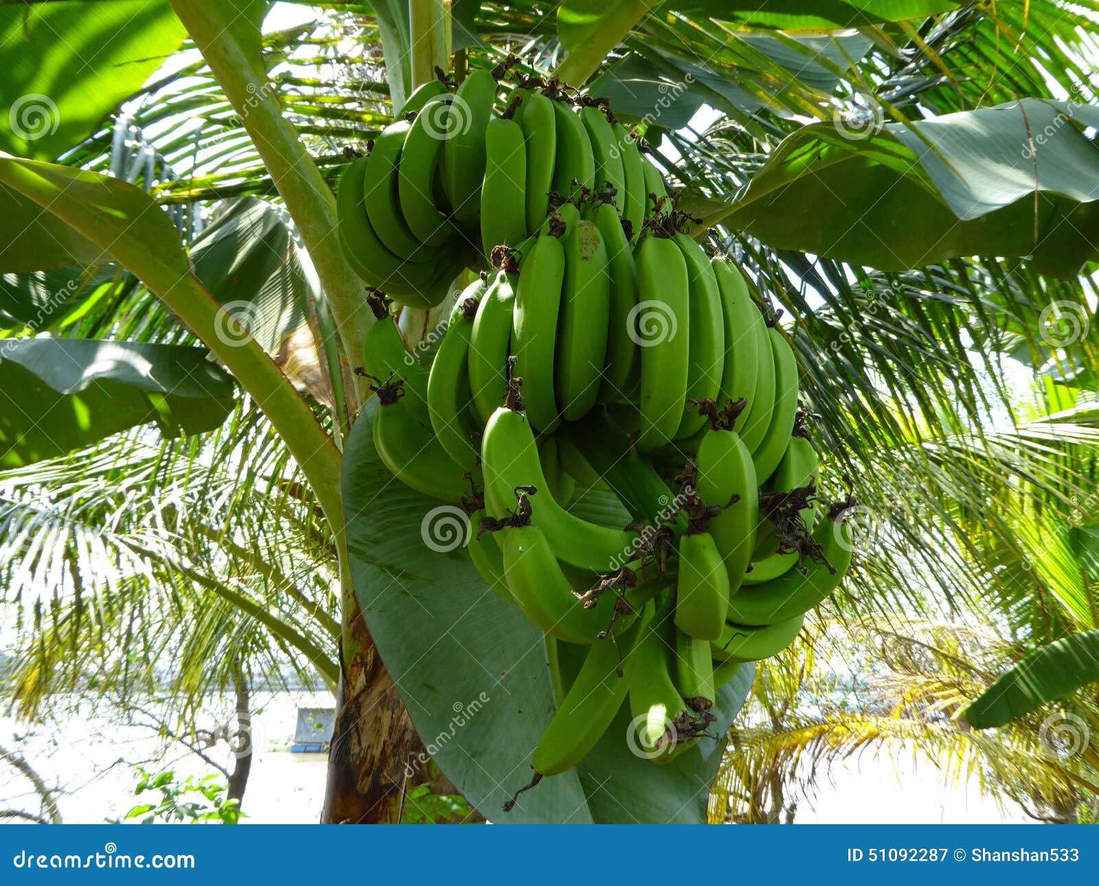 Bossen van groene bananen op een banaanboom