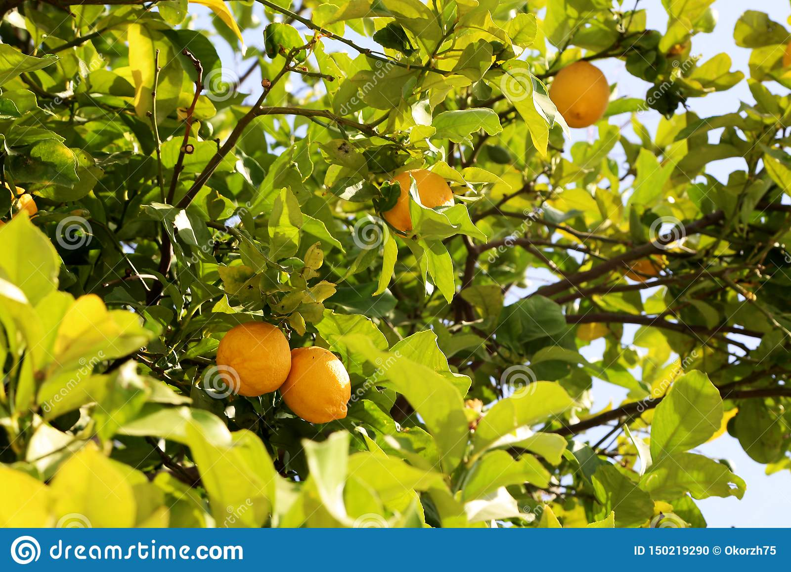Bossen van verse gele rijpe citroenen op citroenboom