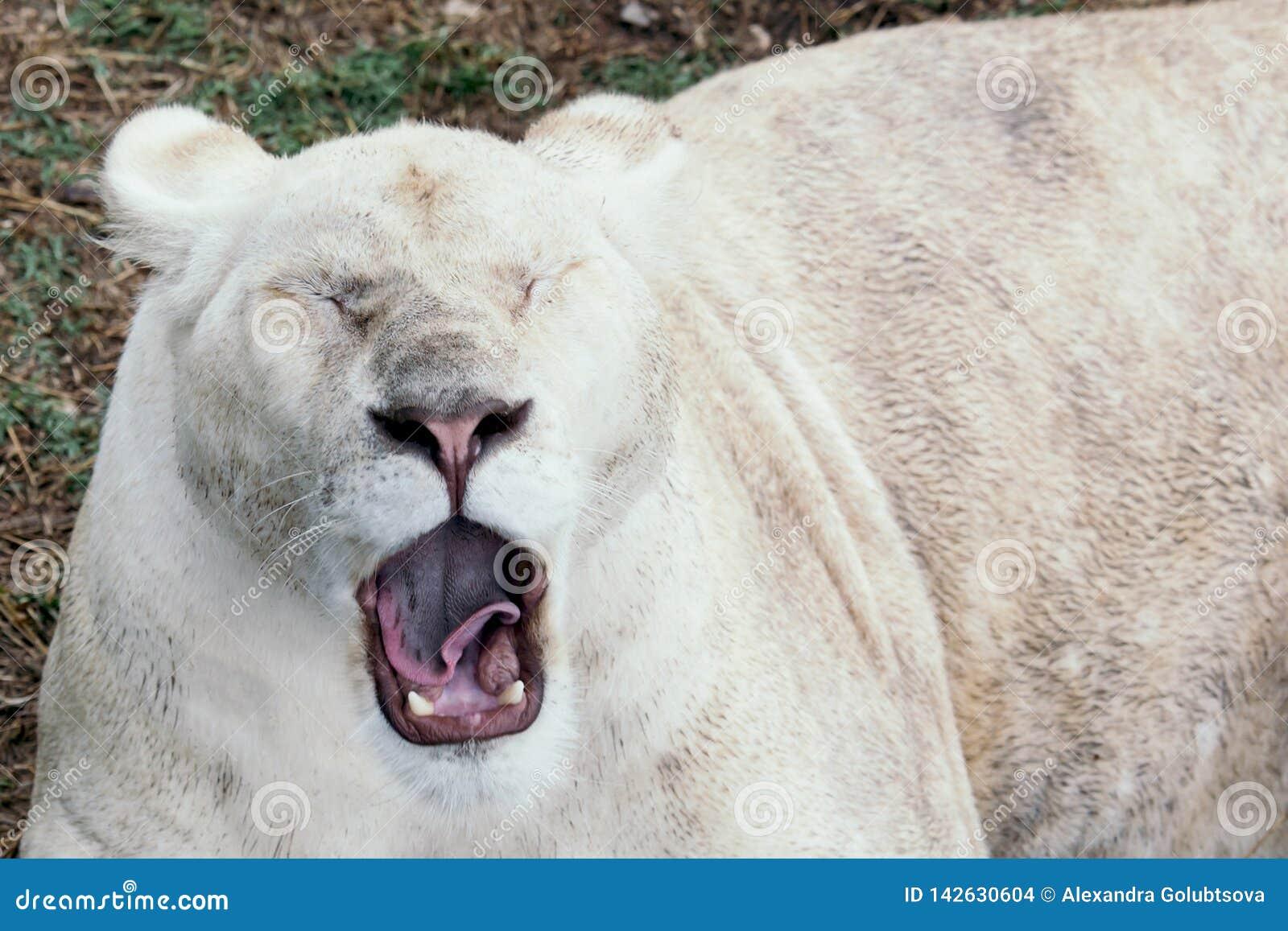 Bostezos del león en el parque zoológico