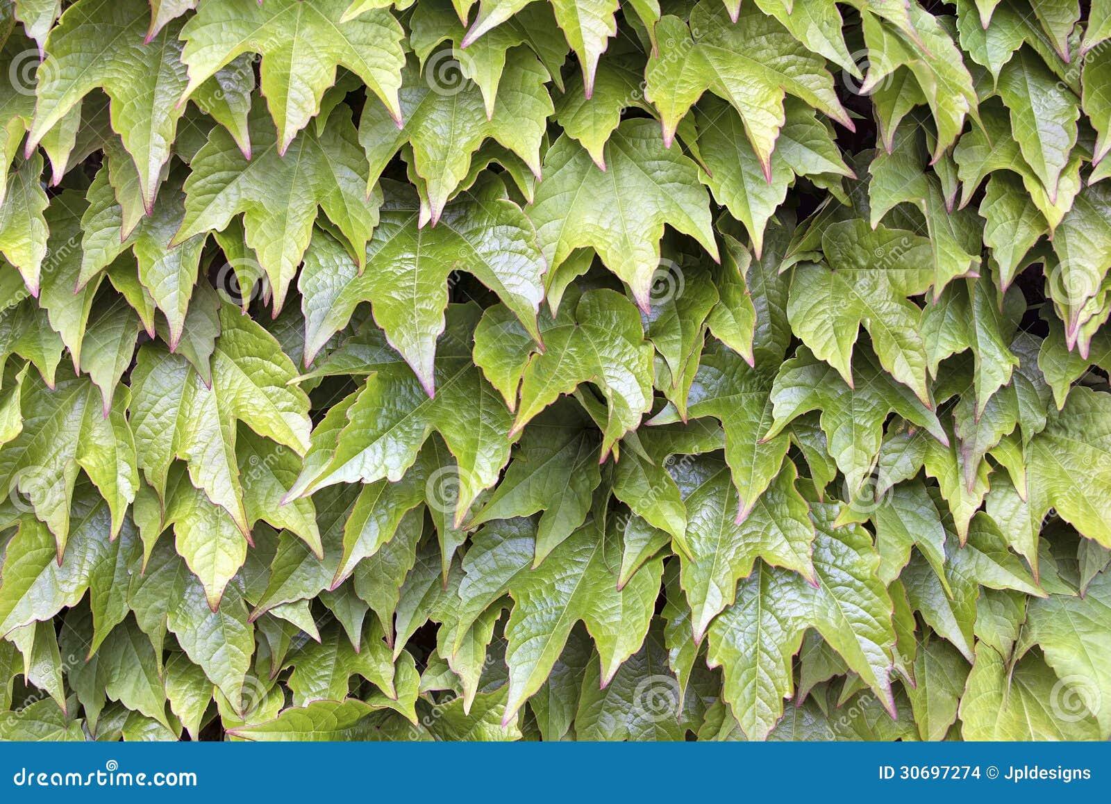 Boston Ivy Climbing Vines Background Stock Images