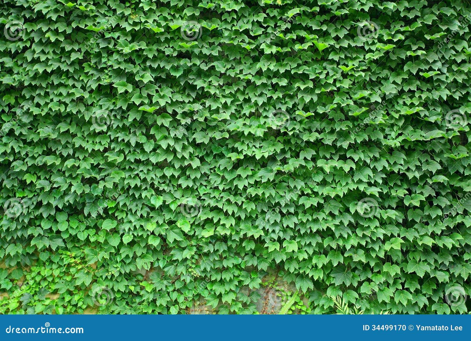 Boston Ivy Texture Stock Photo Image 34499170
