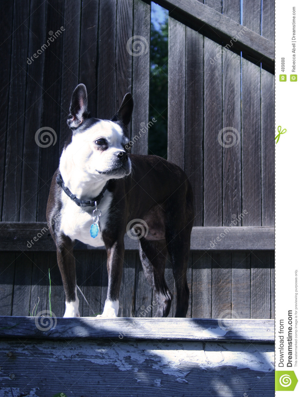 Boston Terrier With Brindle Coat Other Names Boston Bull ...
